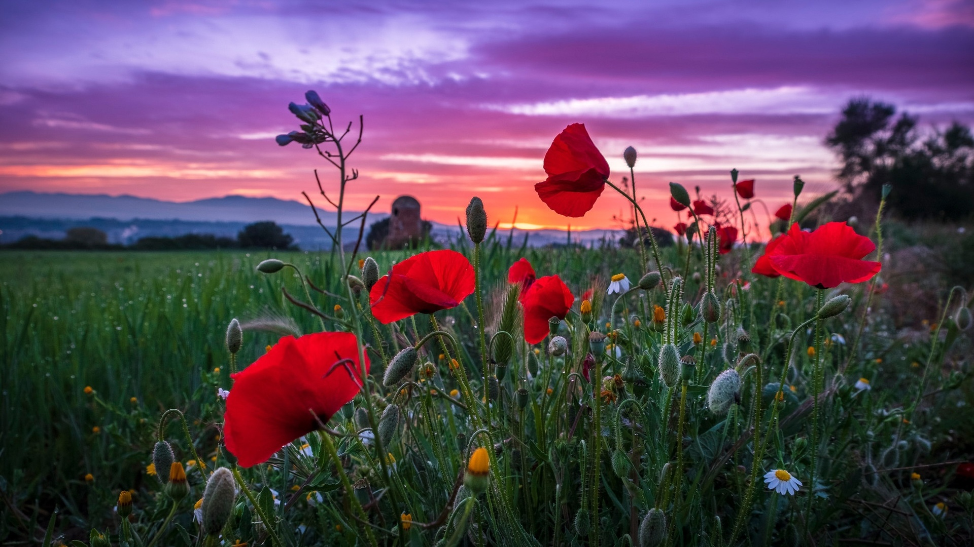 природа, пейзаж, лето, поле, трава, цветы, маки, ромашки, закат, вечер