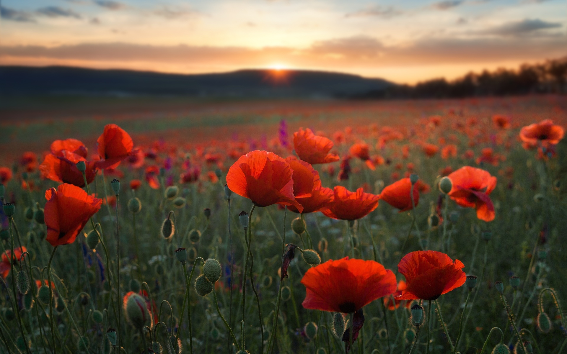 природа, пейзаж, лето, холмы, поле, цветы, маки, закат