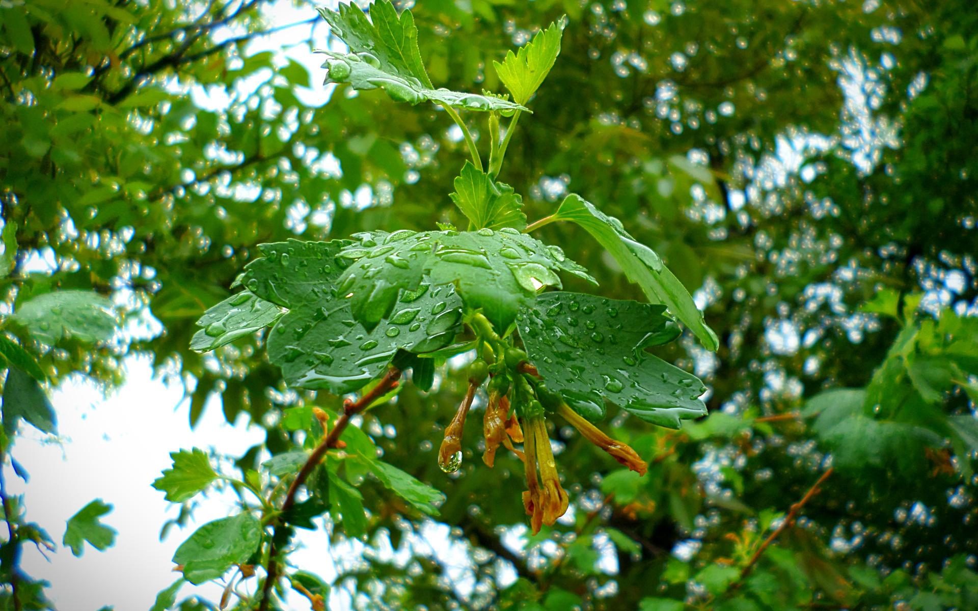 смородина, дождь, май