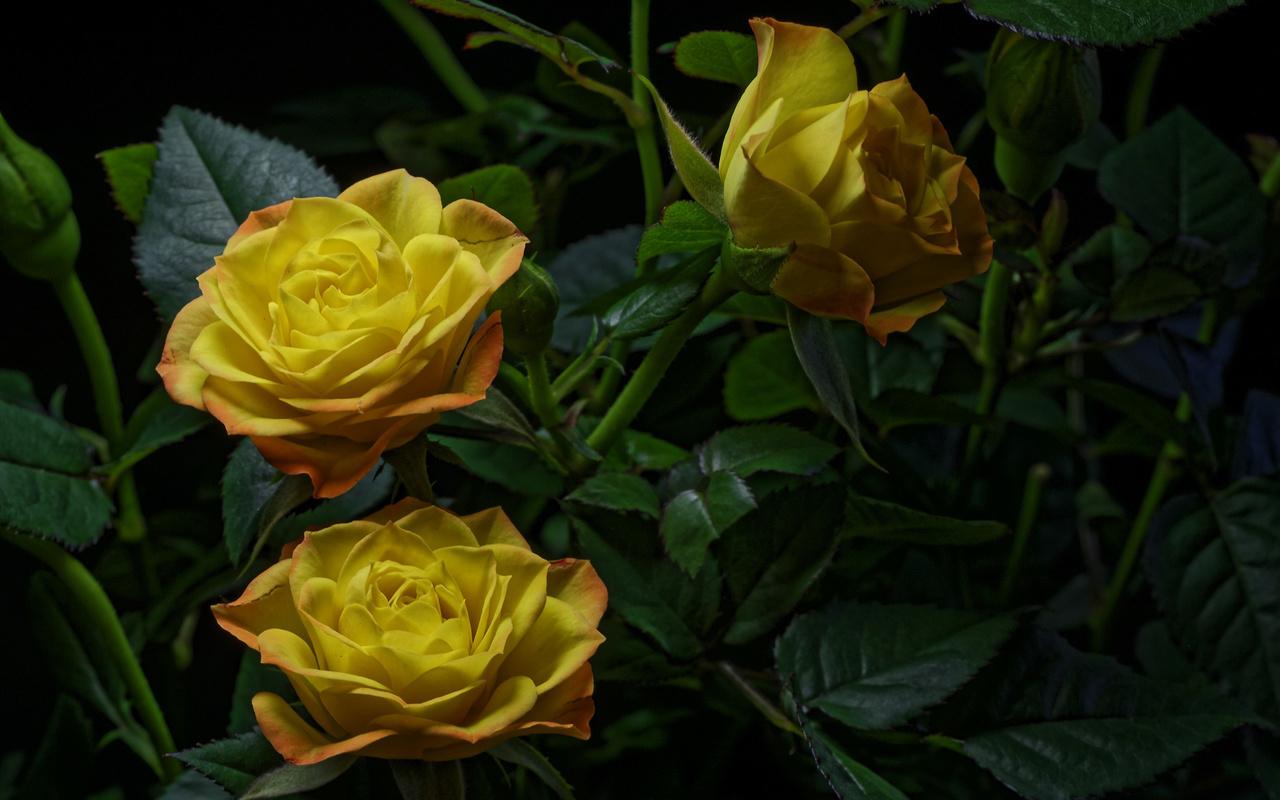 розы, крупным планом, желтый, цветы