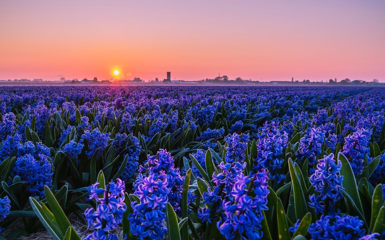 природа, весна, поле, цветы, гиацинты, плантация, утро, рассвет, солнце