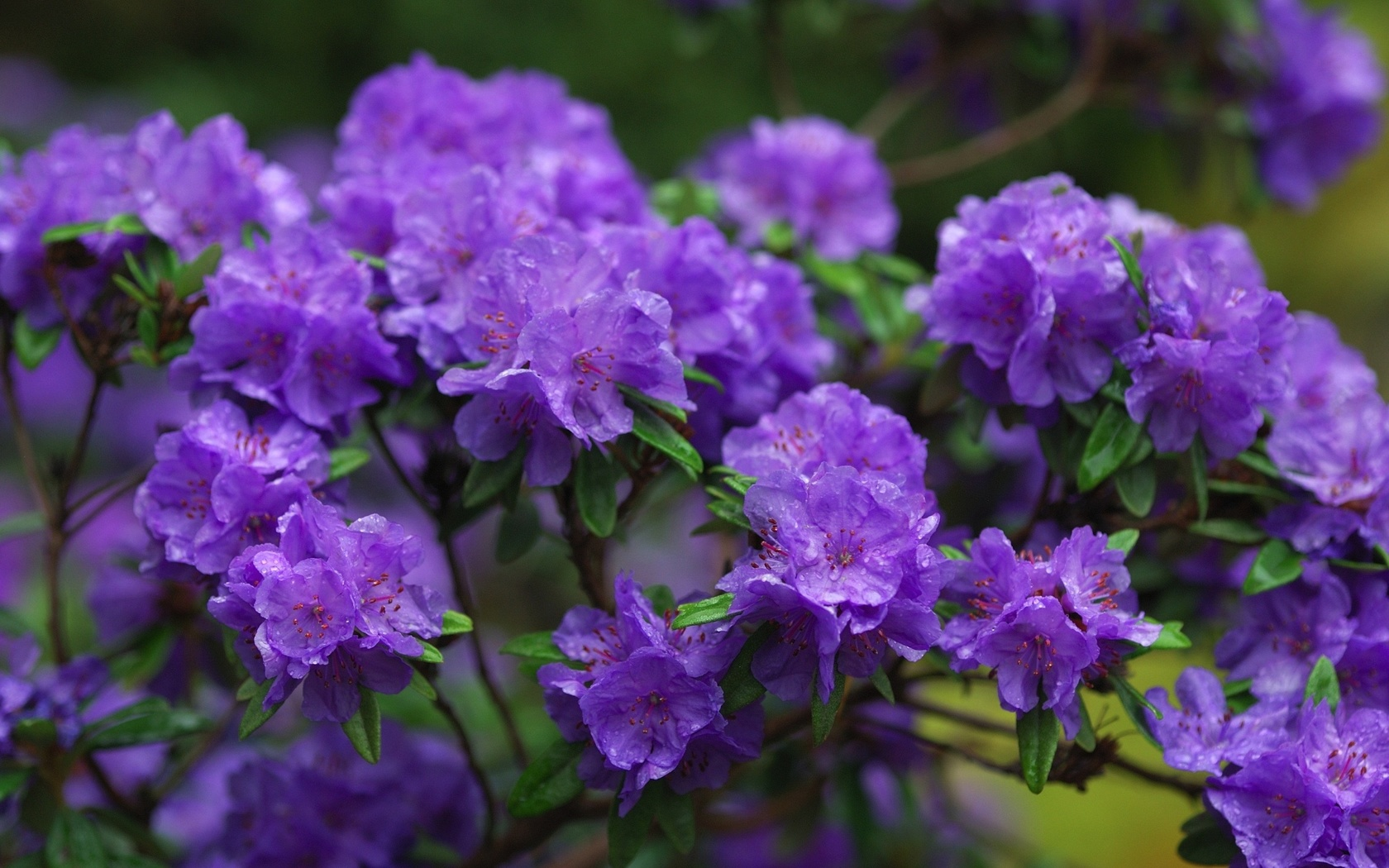цветы, ветки, фиолетовый, азалии, азалия, рододендроны, flowers, branches, purple, azaleas, azalea, rhododendrons