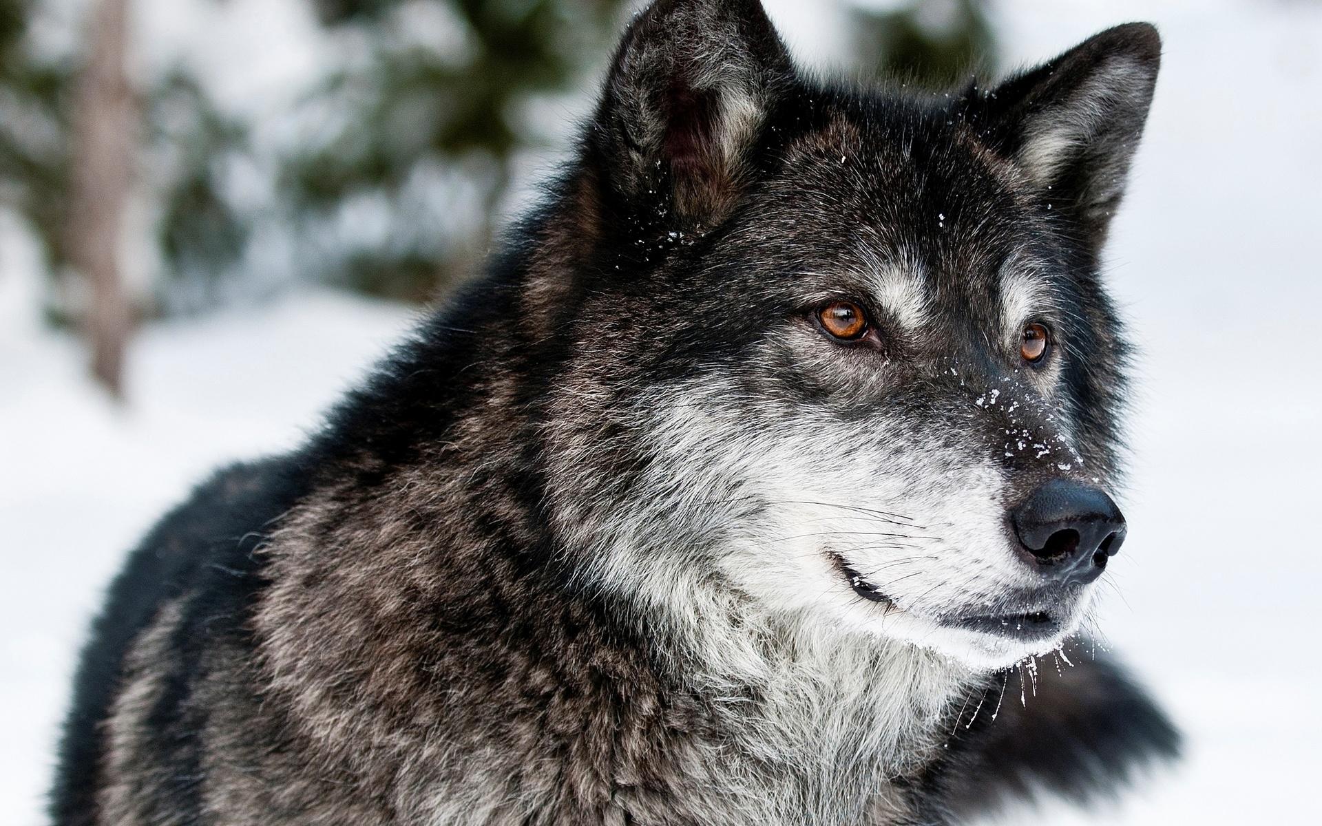 День, фото волка с надписью