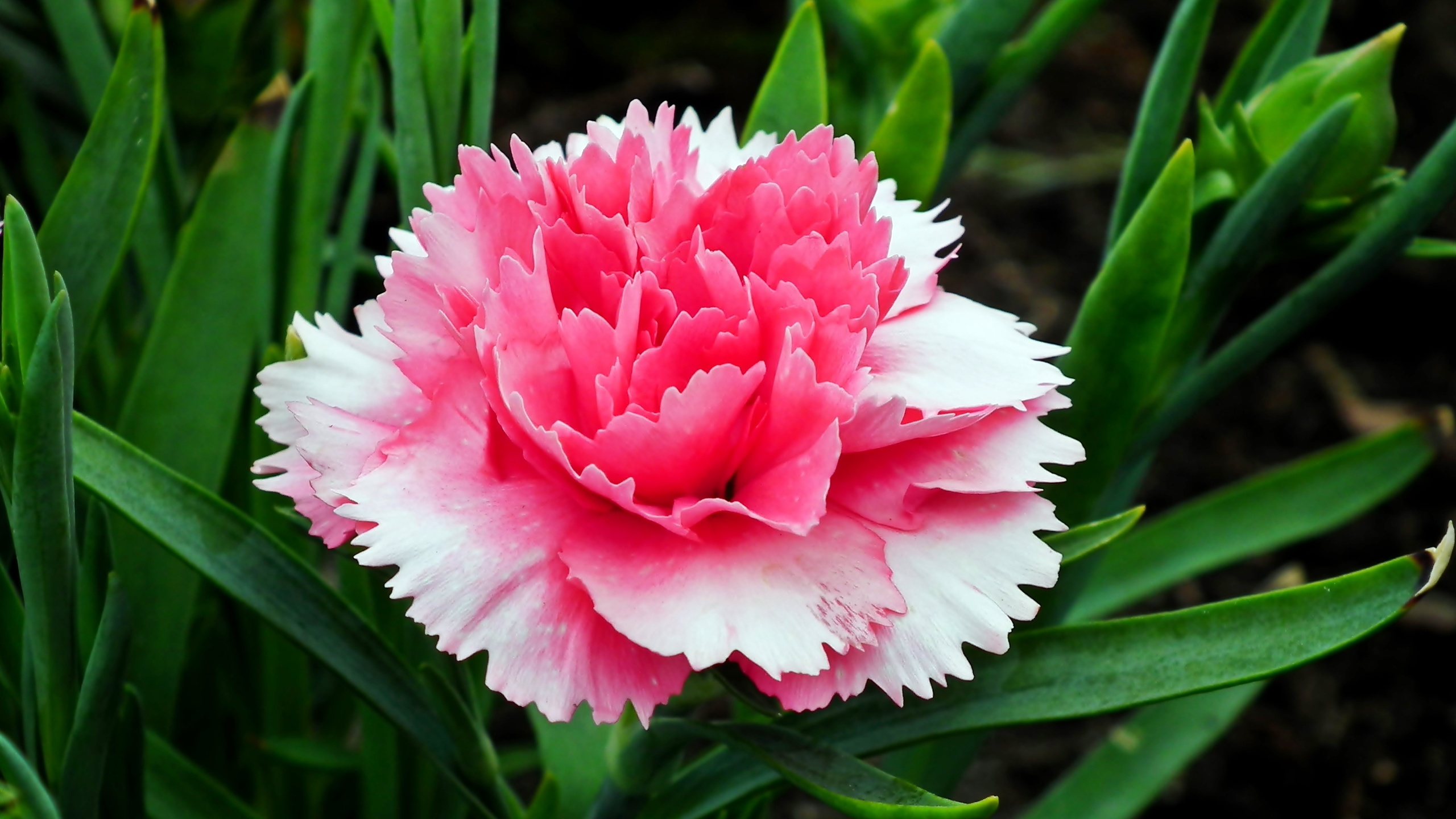 гвоздики, цветок, весна, сад, розовый, природа