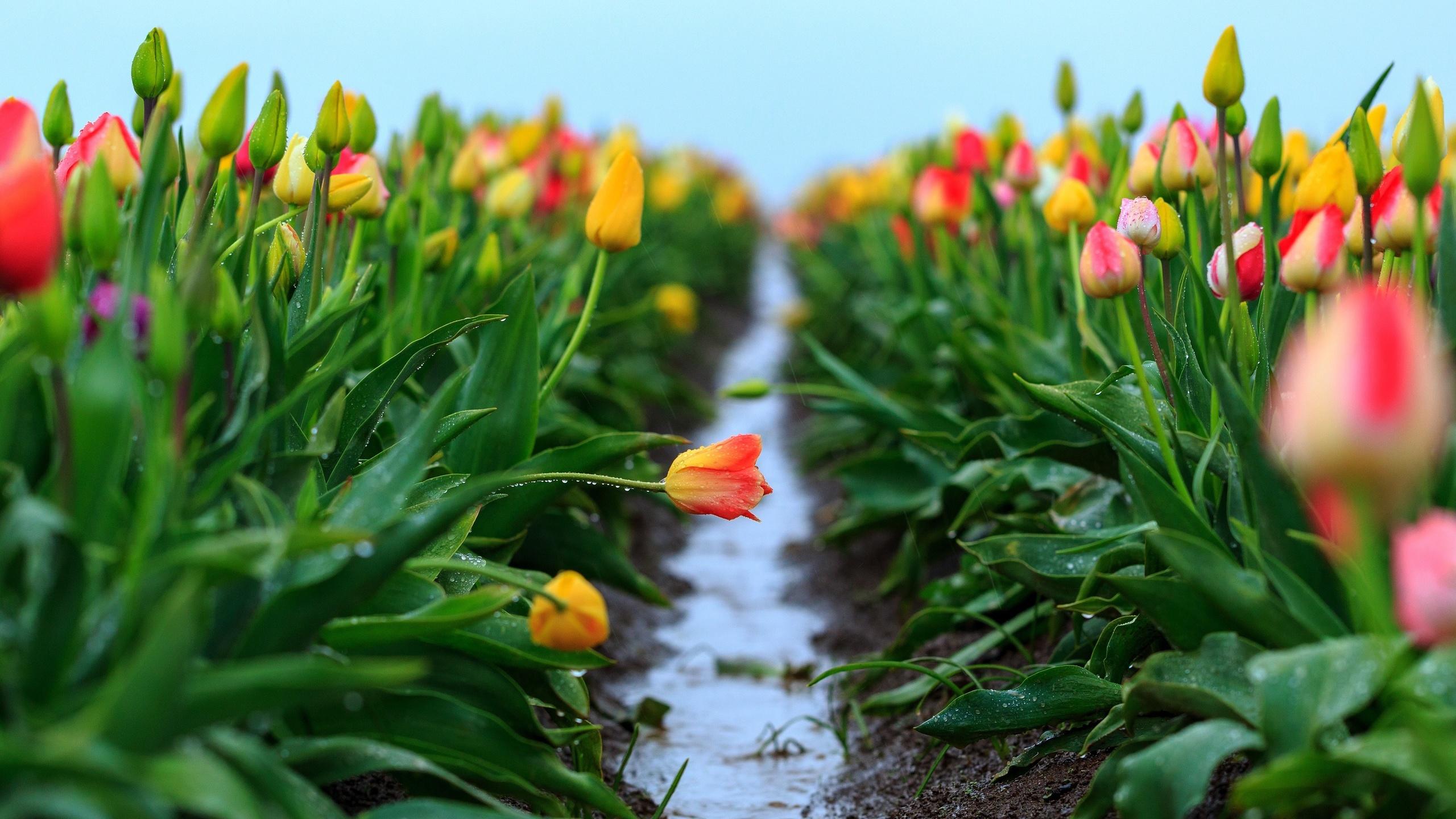 цветы, тюльпаны, капли, воды