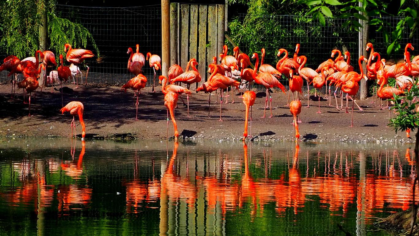 англия, птицы, много, вода, фламинго, flamingo, park chester zoo, животные