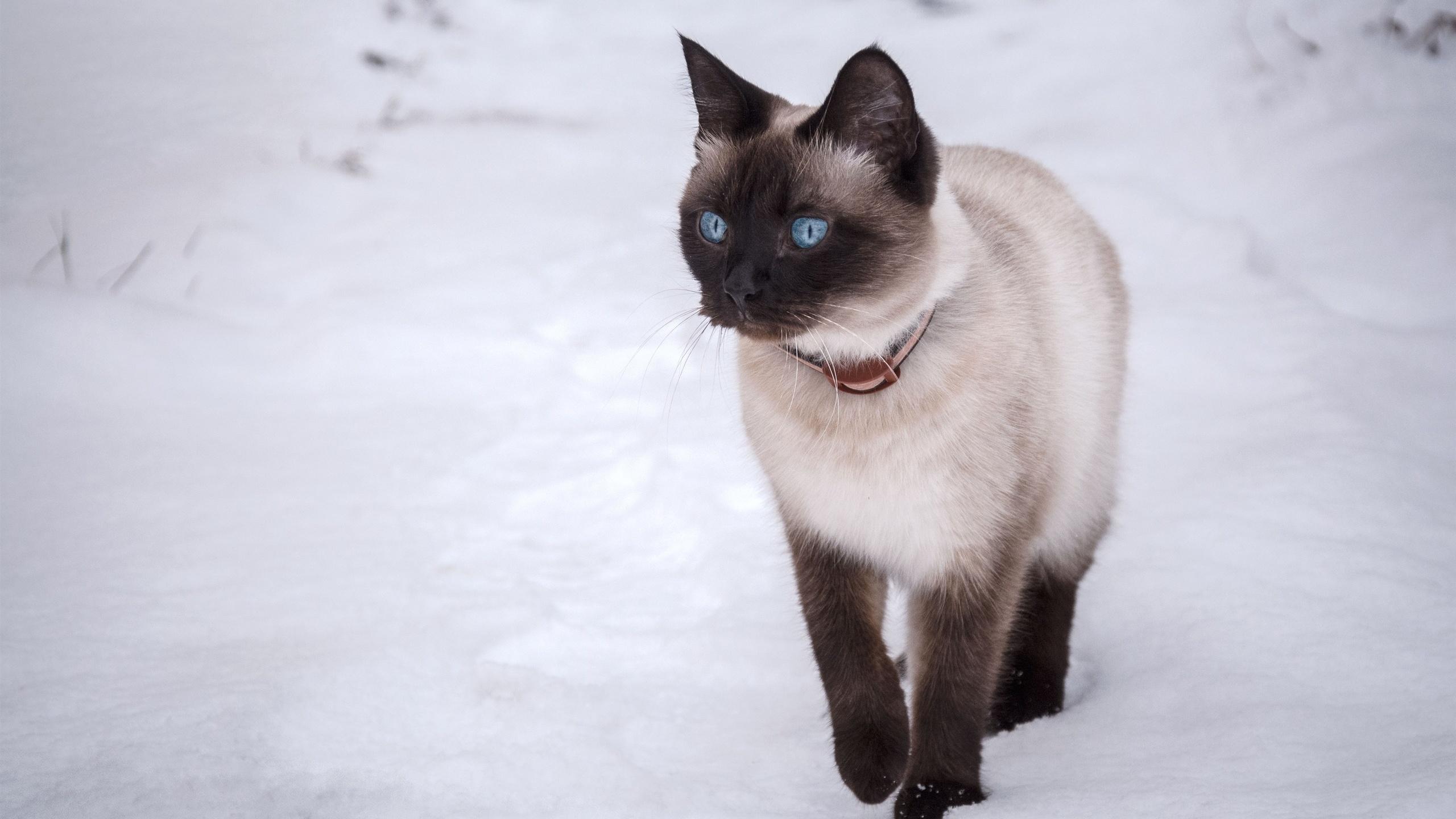 тайская кошка, голубые глаза, снег