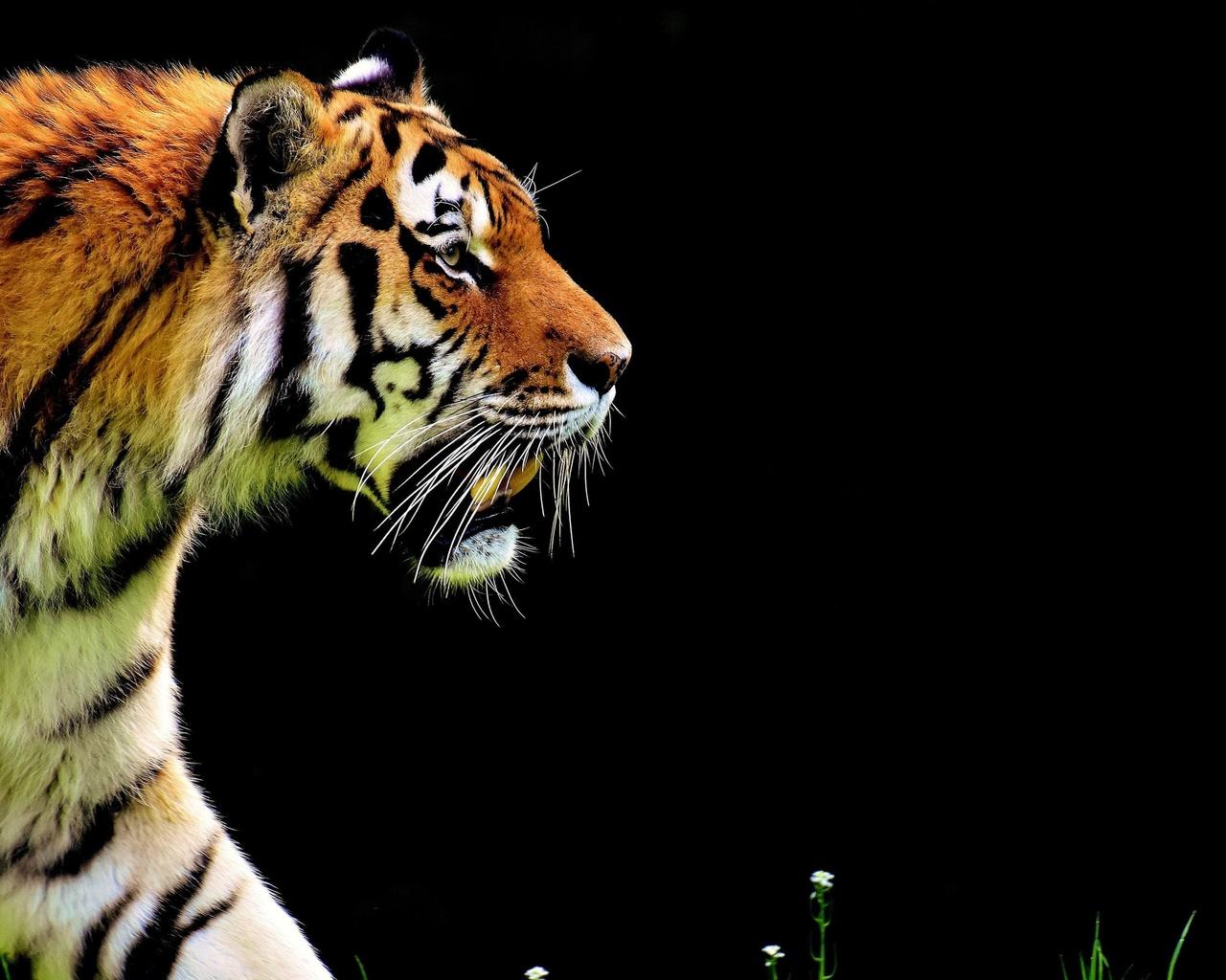 большой, суровый, тигр, крадется