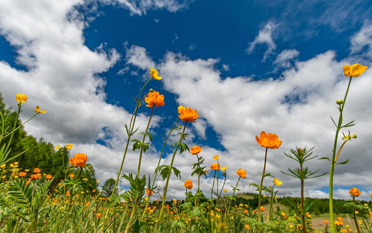 небо, облака, цветы, лютики