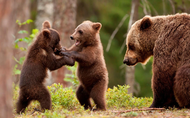 медведи, семья, животные, природа