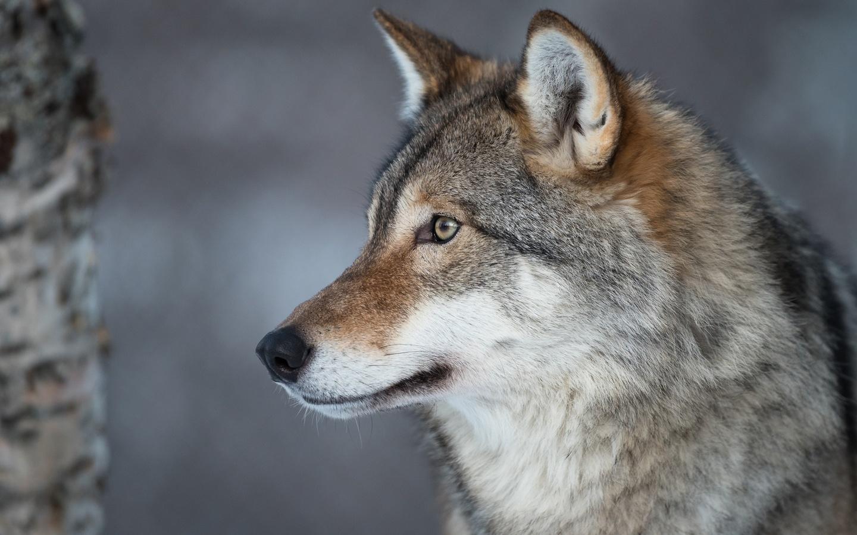 волк, взгляд, морда, животные