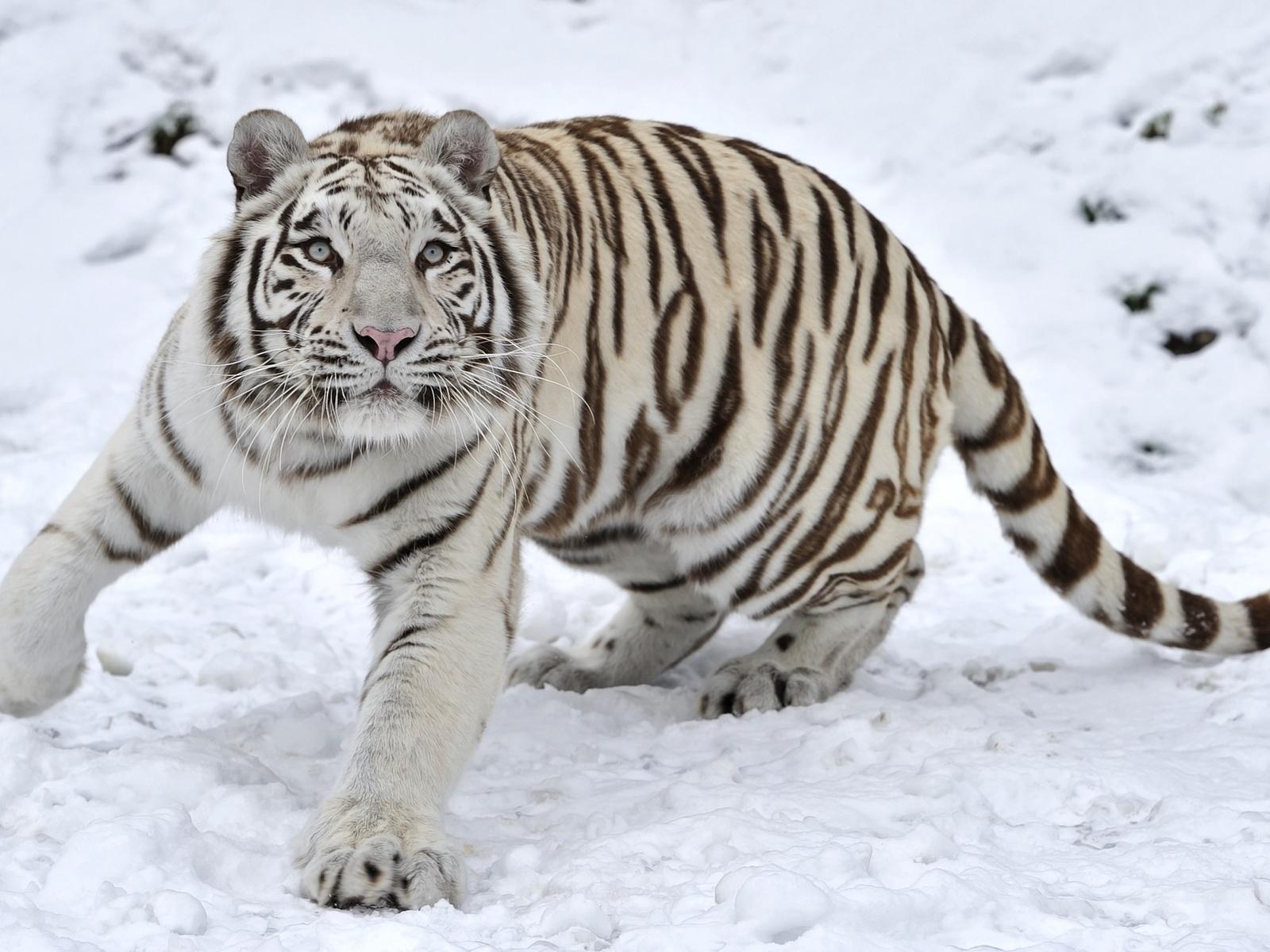 Для, белые тигры картинки
