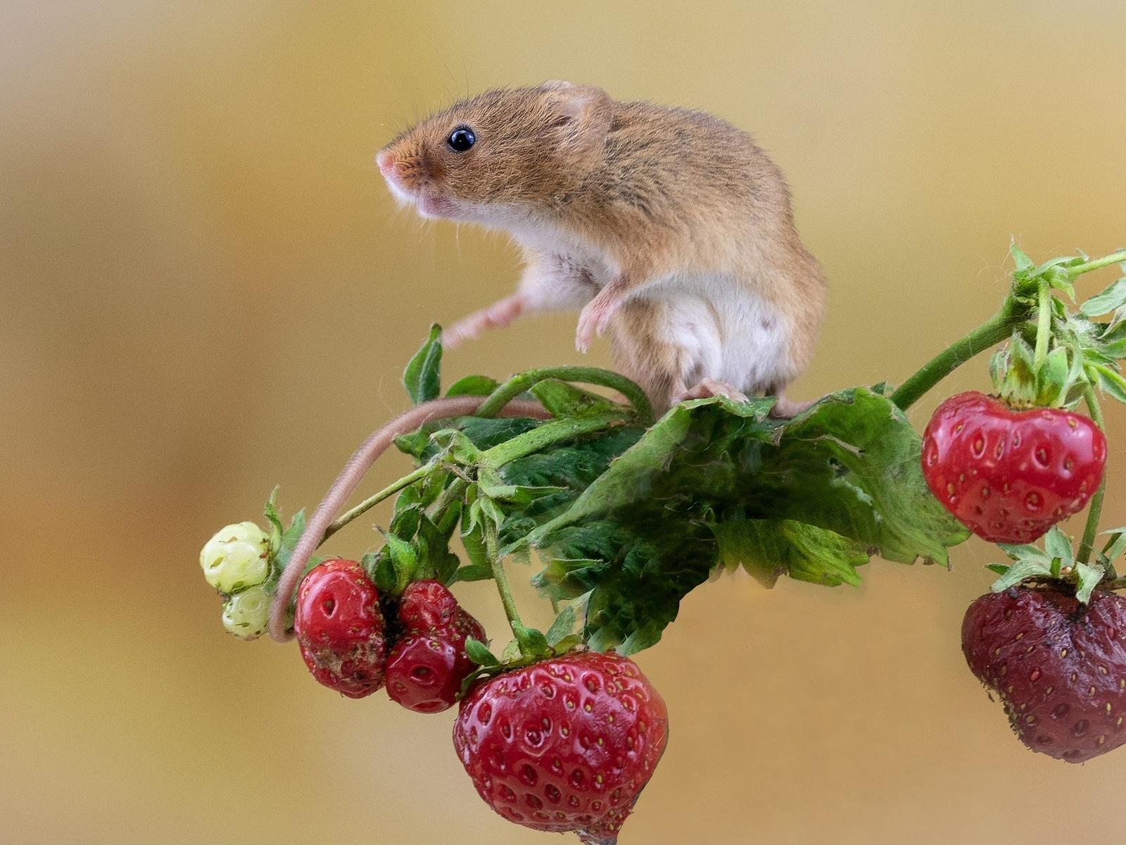 зверёк, грызун, мышь, ветка, ягоды, клубника