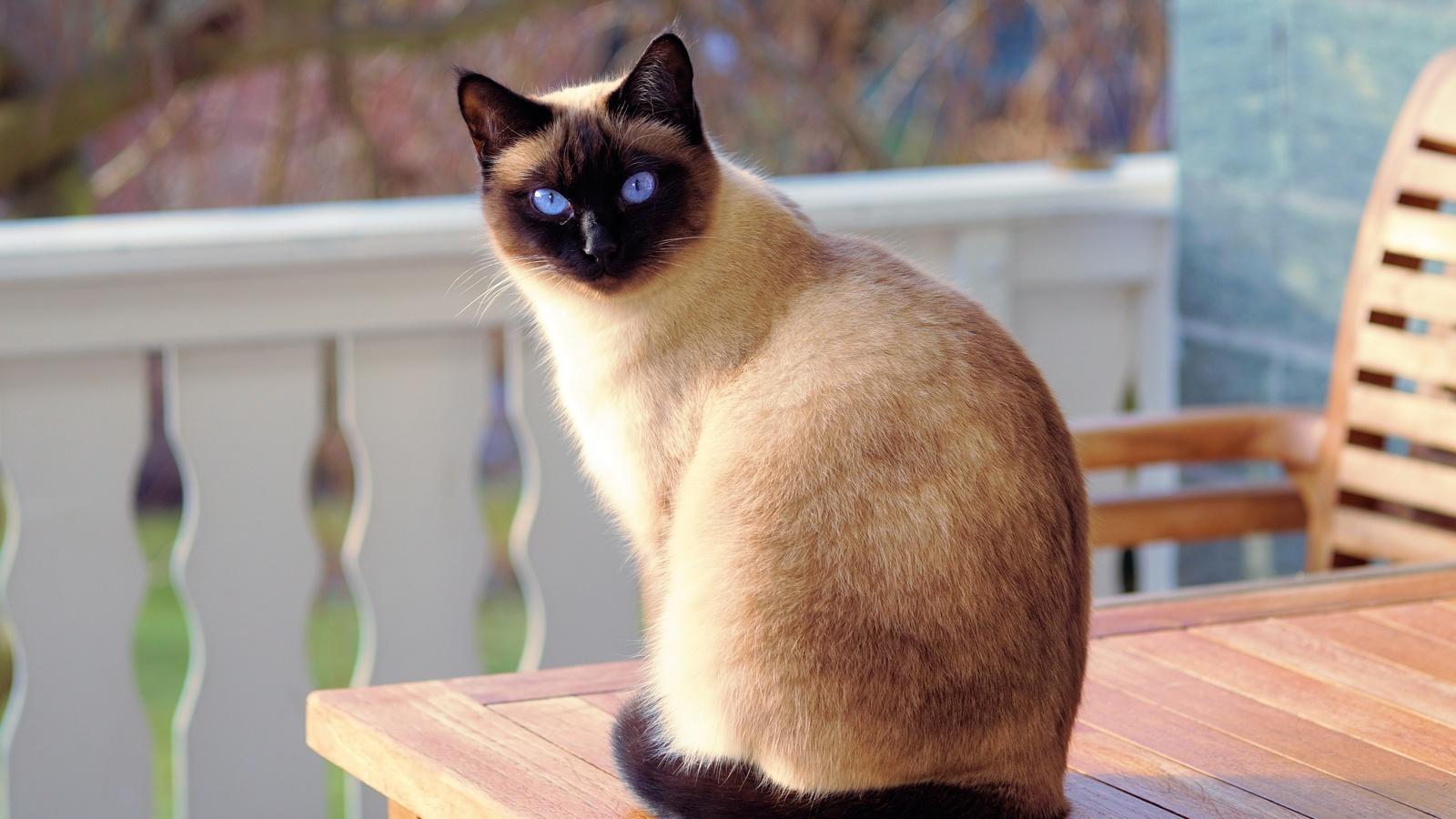 кот, животные, сиамский