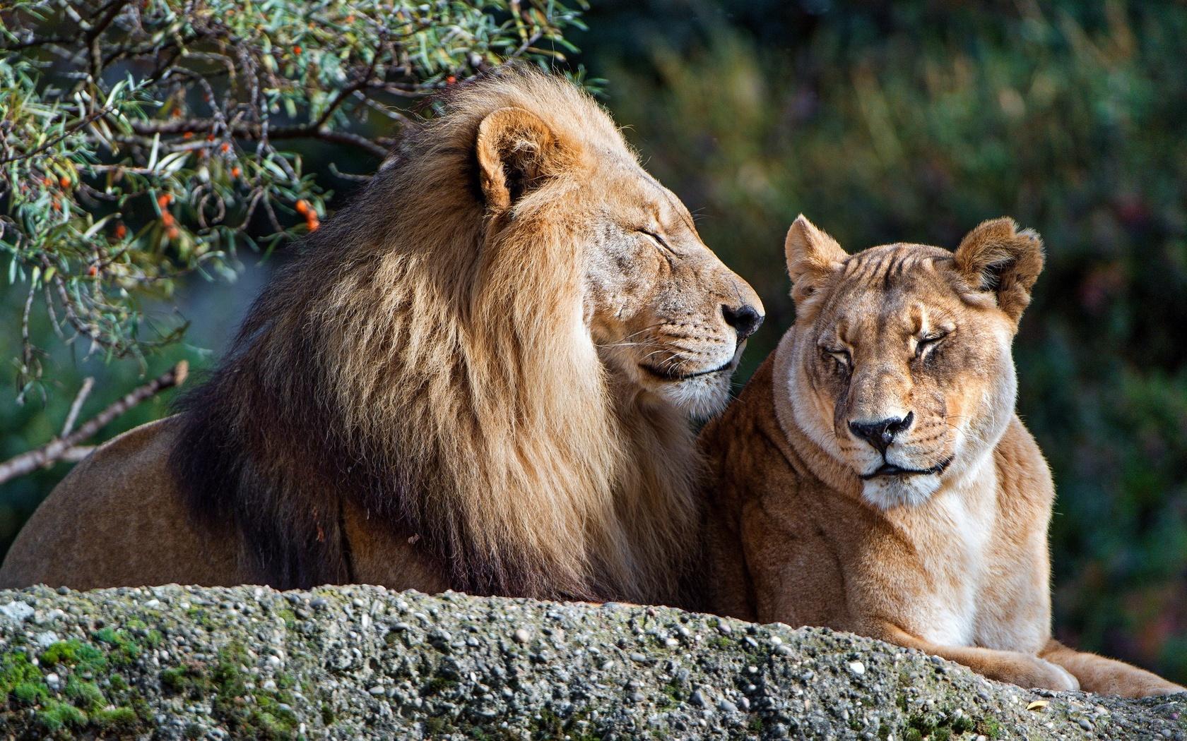 листья, любовь, кошки, ветки, природа, фон, отдых, камень, лев, семья, пара, дикие кошки, львы, львица, отношения