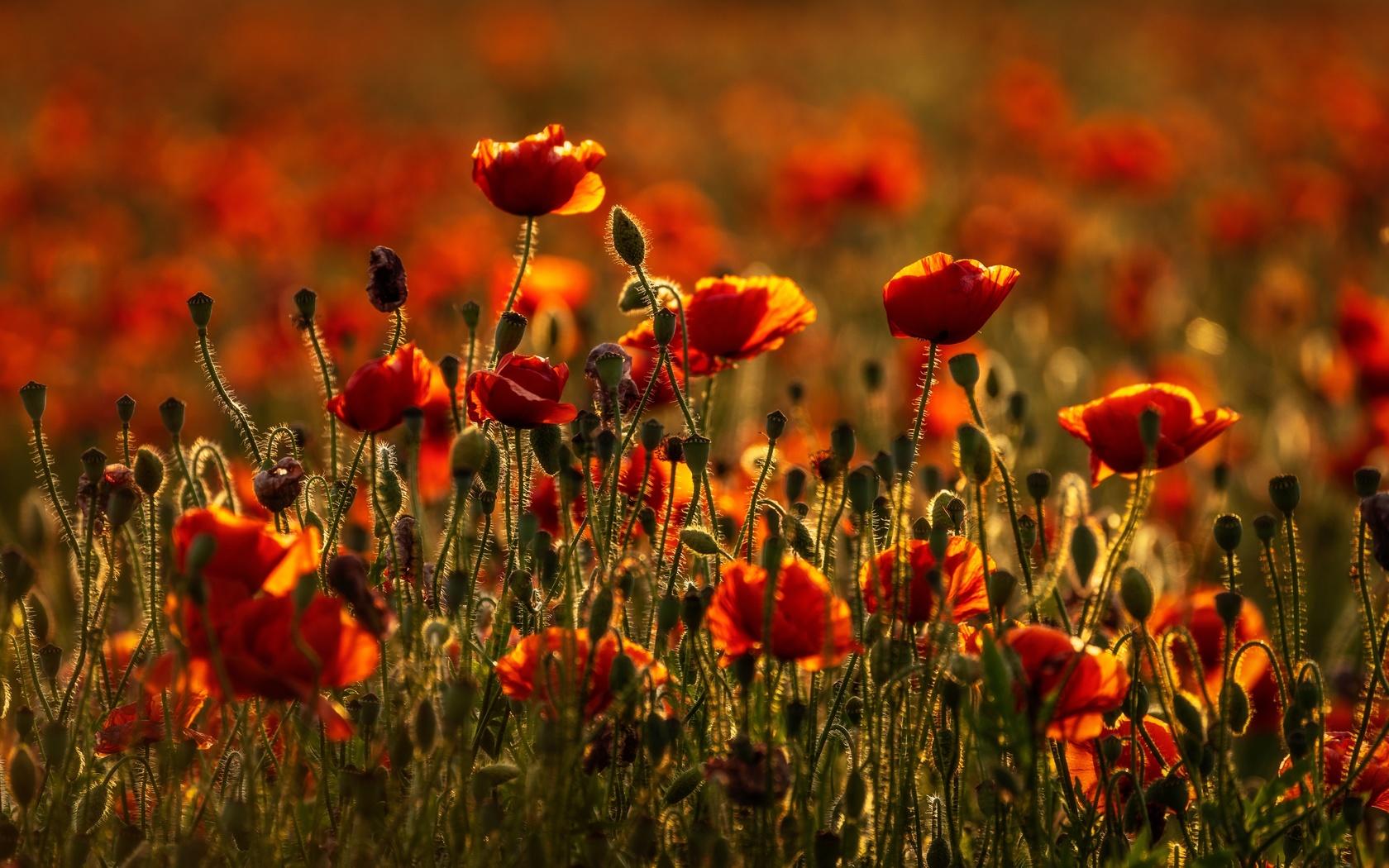 маки, луг, цветы