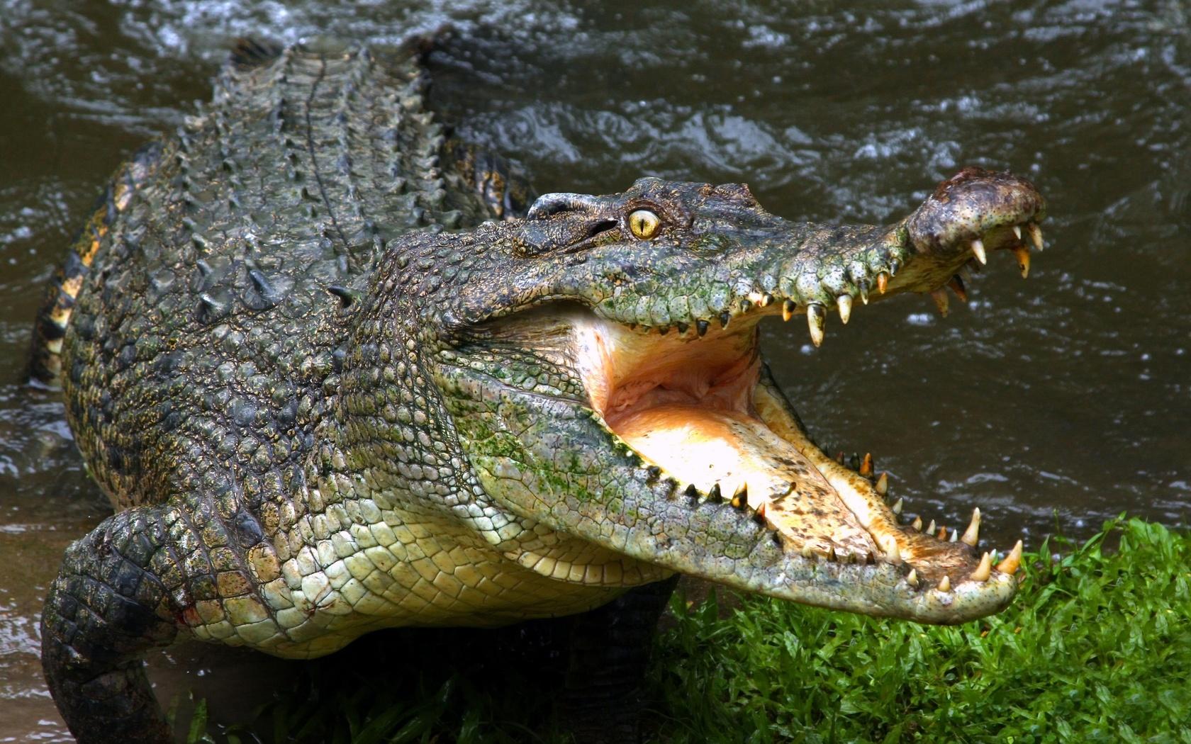 аллигатор, крокодил, голодный, челюсти