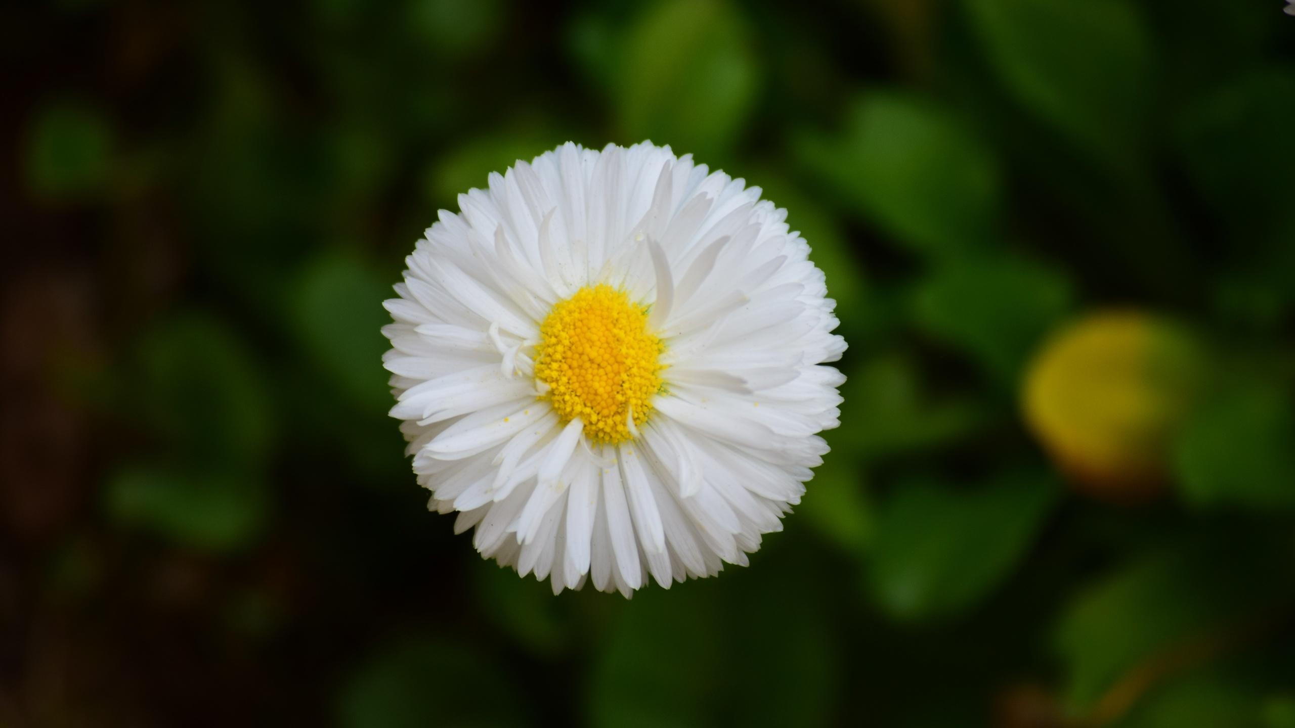 цветок, фон, боке