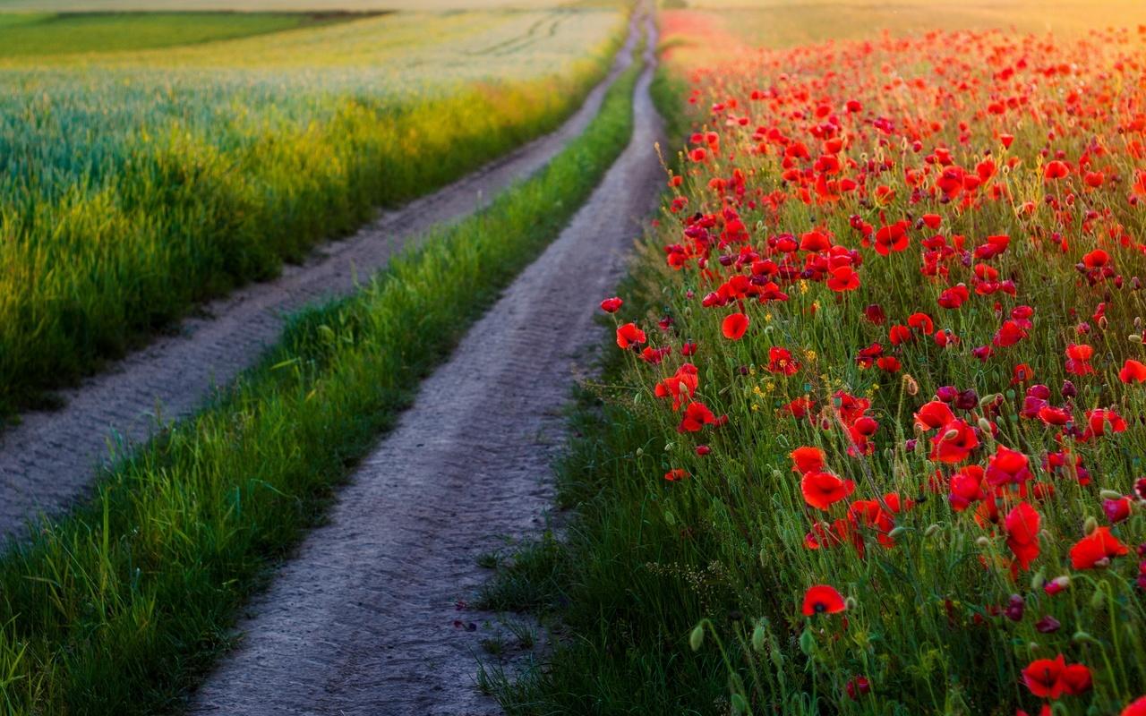 маки, природа, цветы