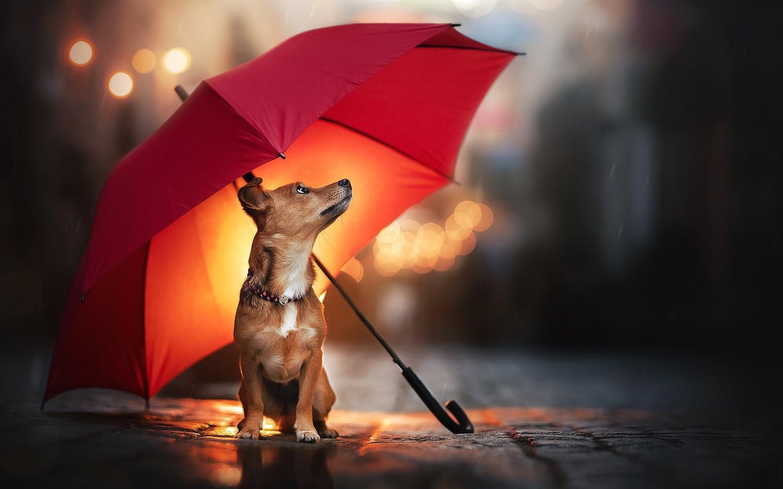 животное, собака, пёс, зонт, улица, мостовая, дождь, боке