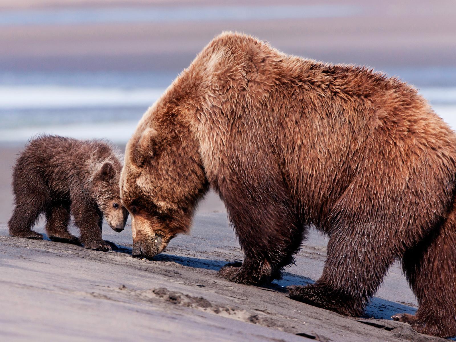 животные, хищники, медведи, медведица, медвежонок, детёныш