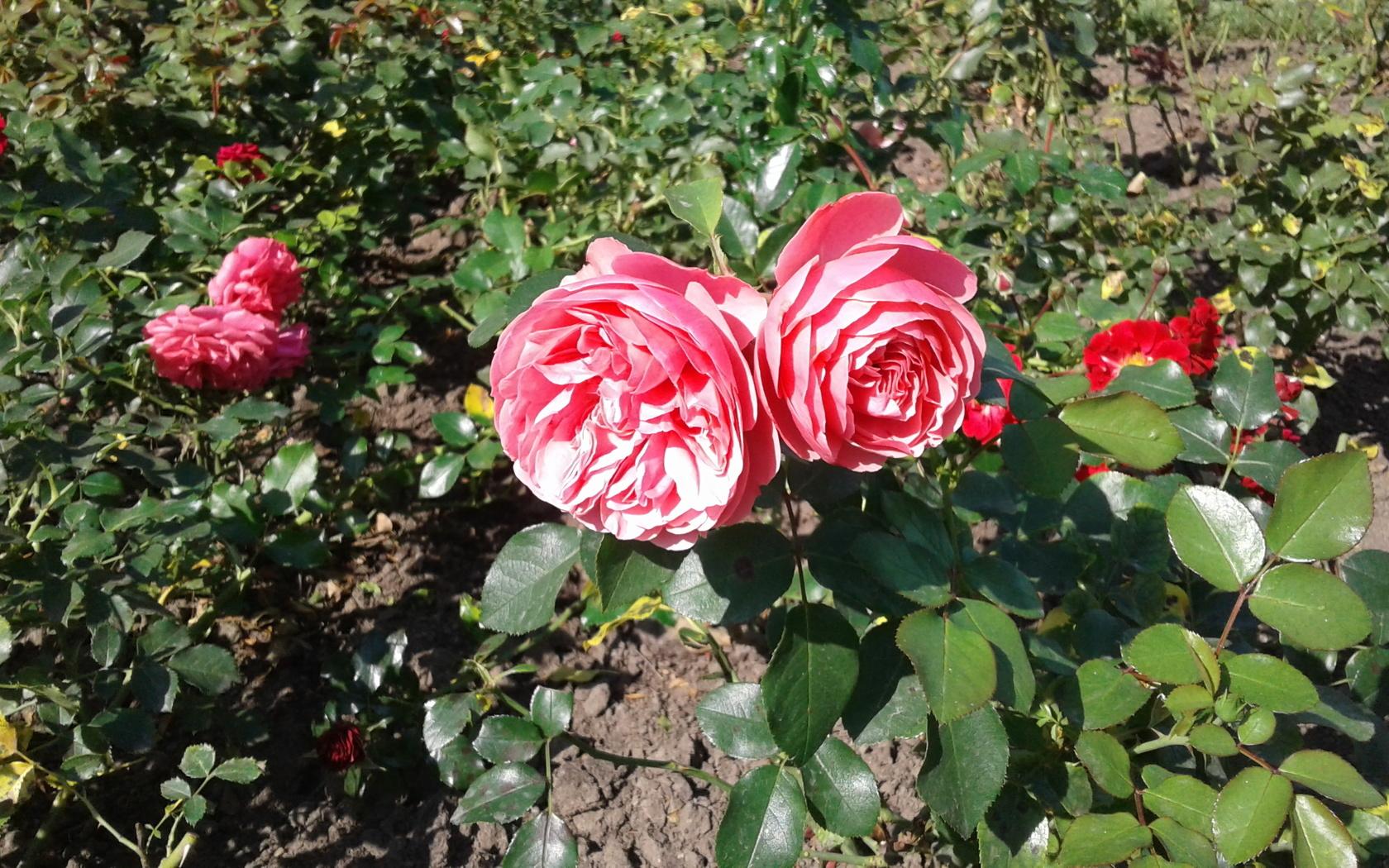 розы, клумба, оранжерея