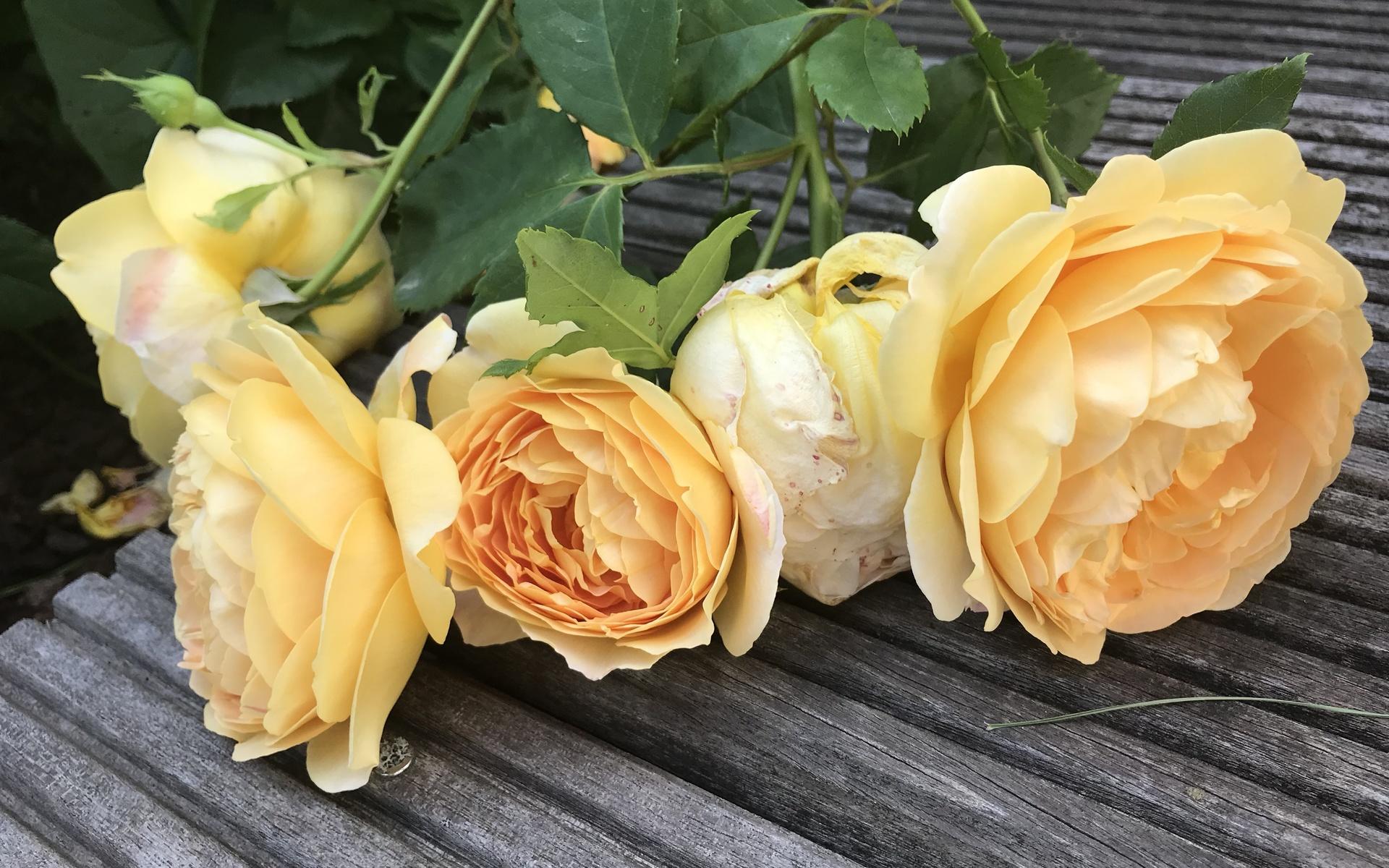 розы, желтые, настил, дощатый