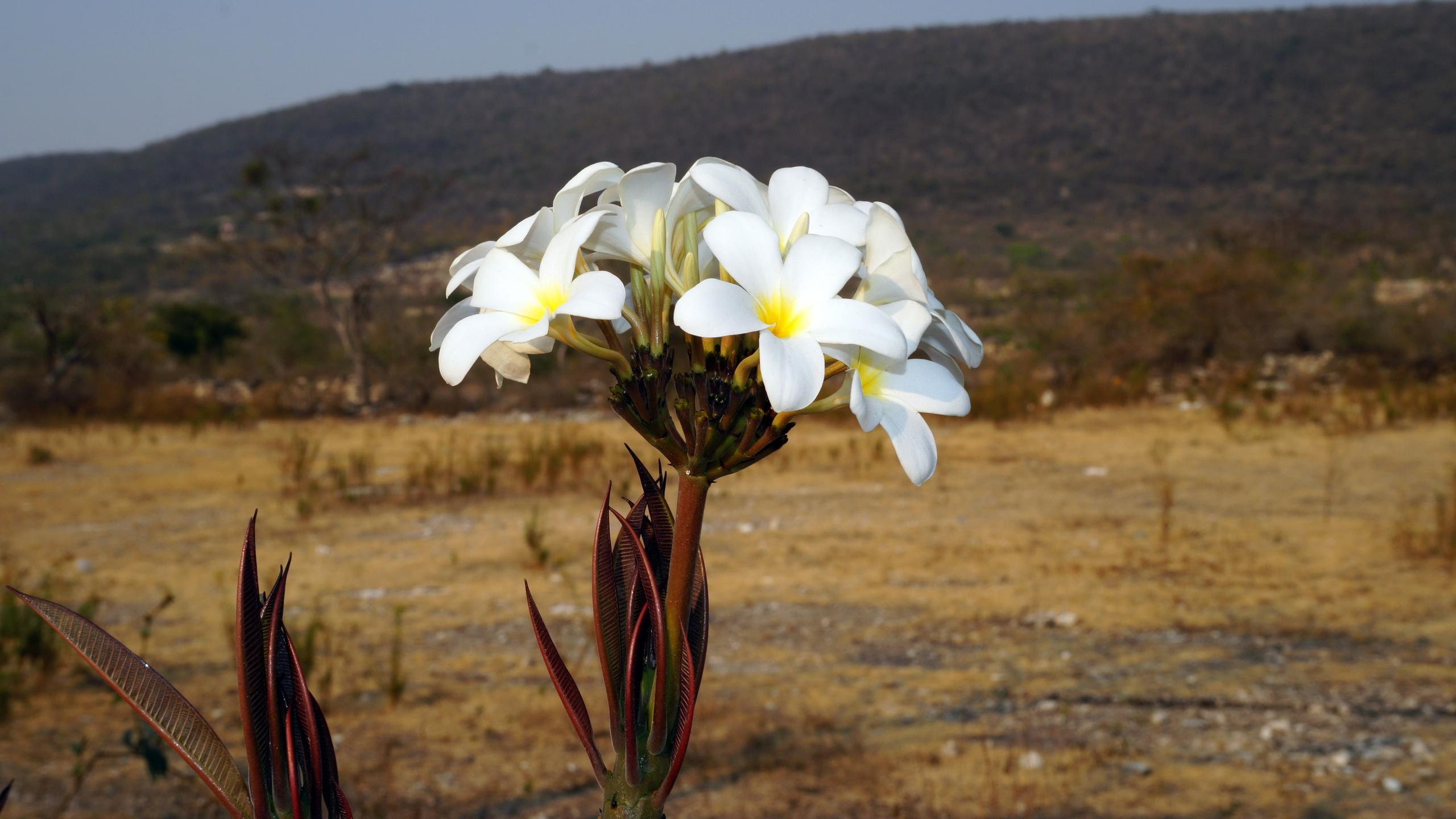 цветы, равнина, предгорье