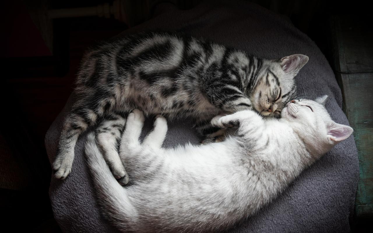 кошка, кот, кошки, уют, котенок, серый, фон, отдых, вместе, сон, покрывало, пара, котята, котёнок