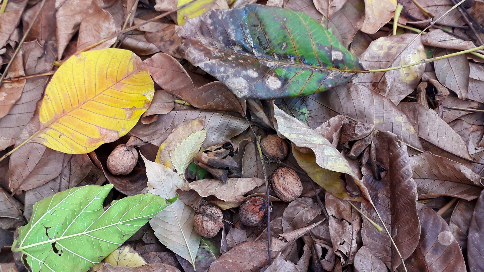 листья, орехи, октябрь