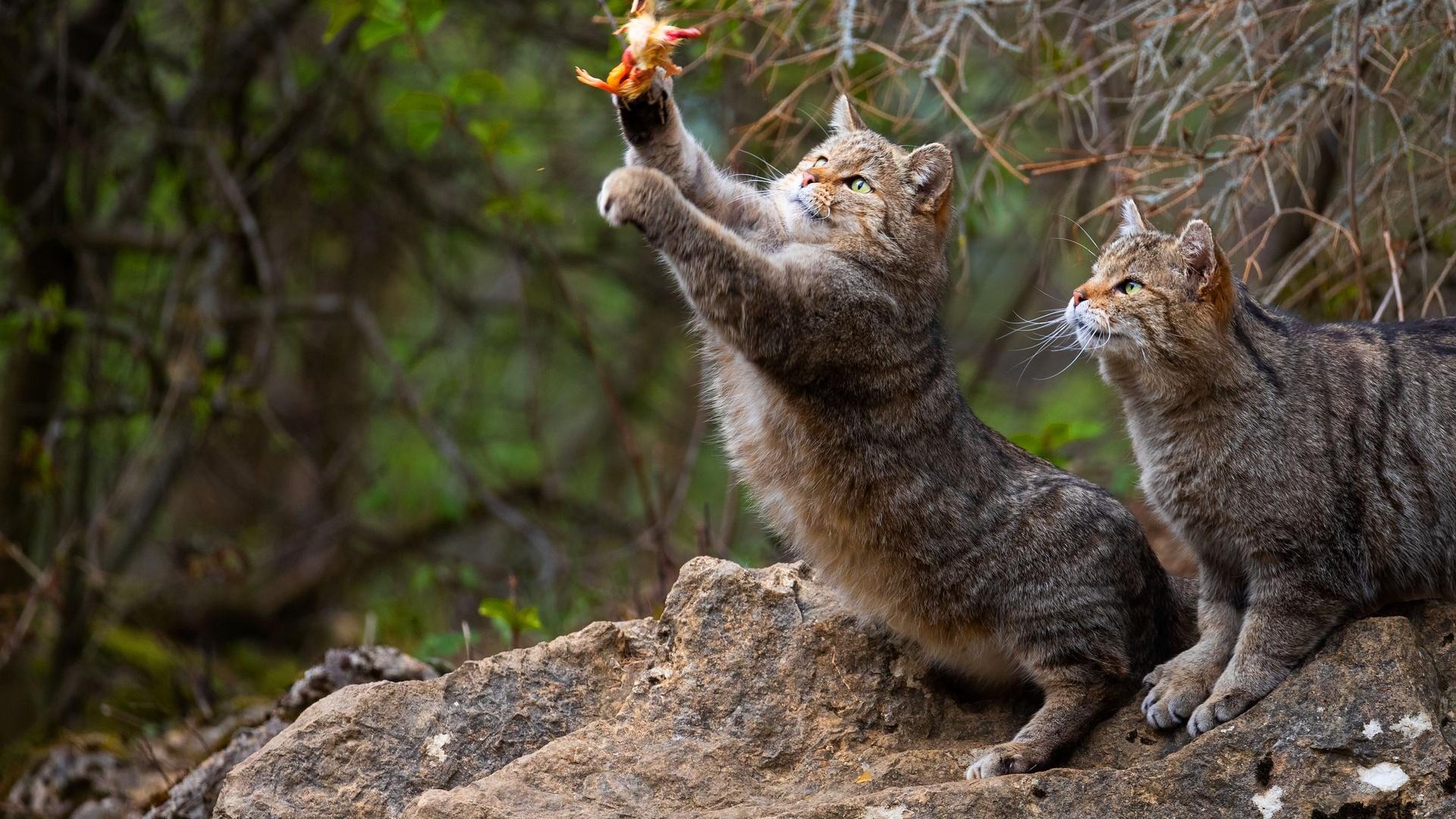 природа, лес, животные, дикие коты, коты, пара, камень, охота