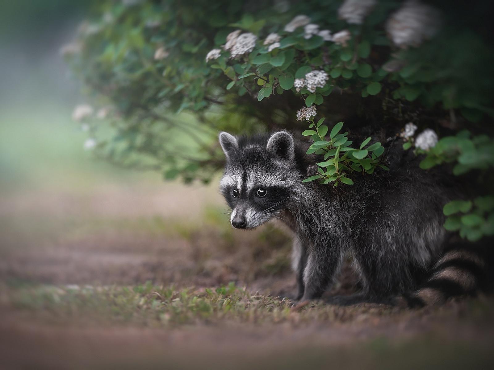 животное, енотик, детёныш, природа, лето, куст, енот
