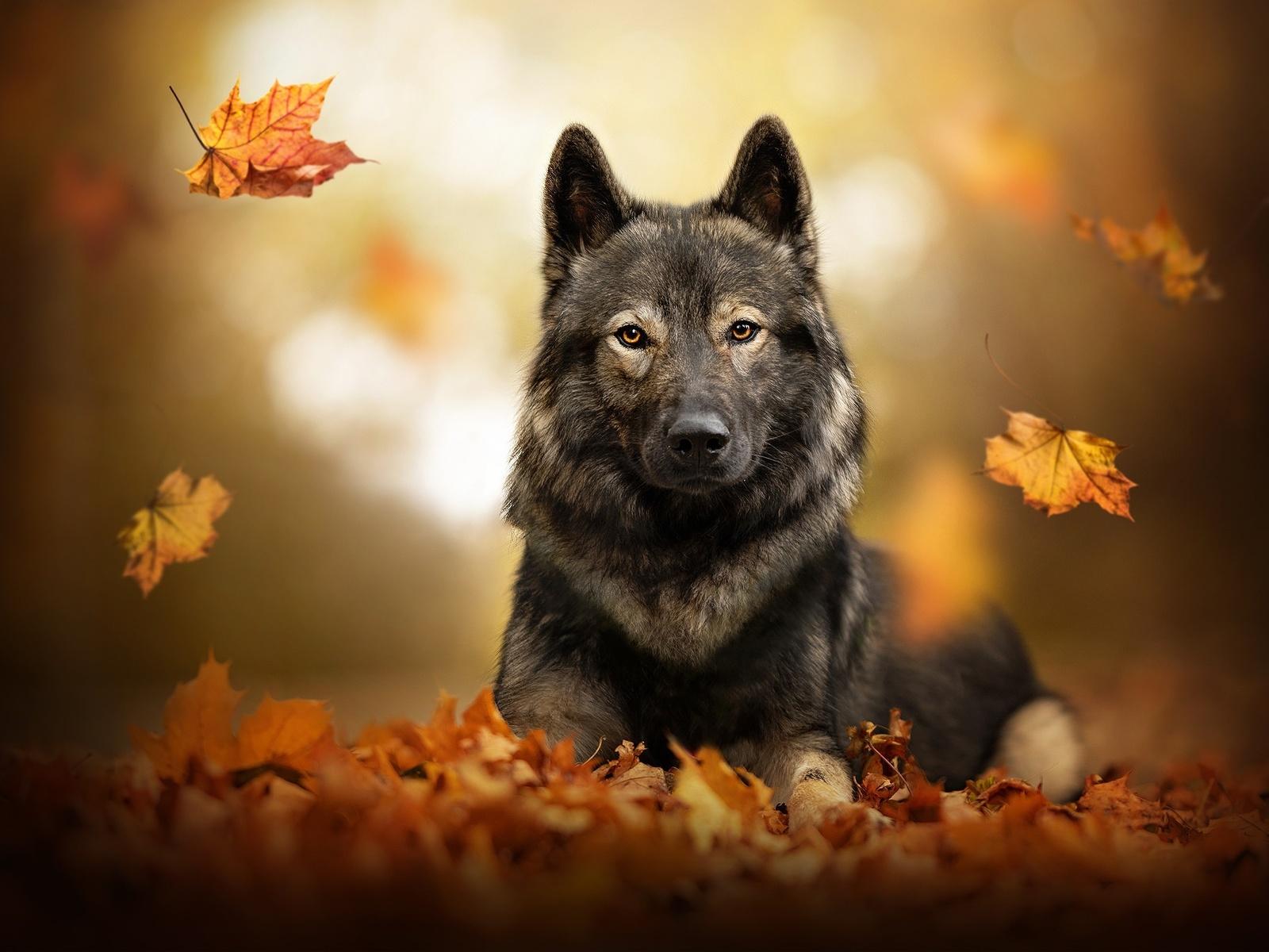 собака, осень, овчарка, листья