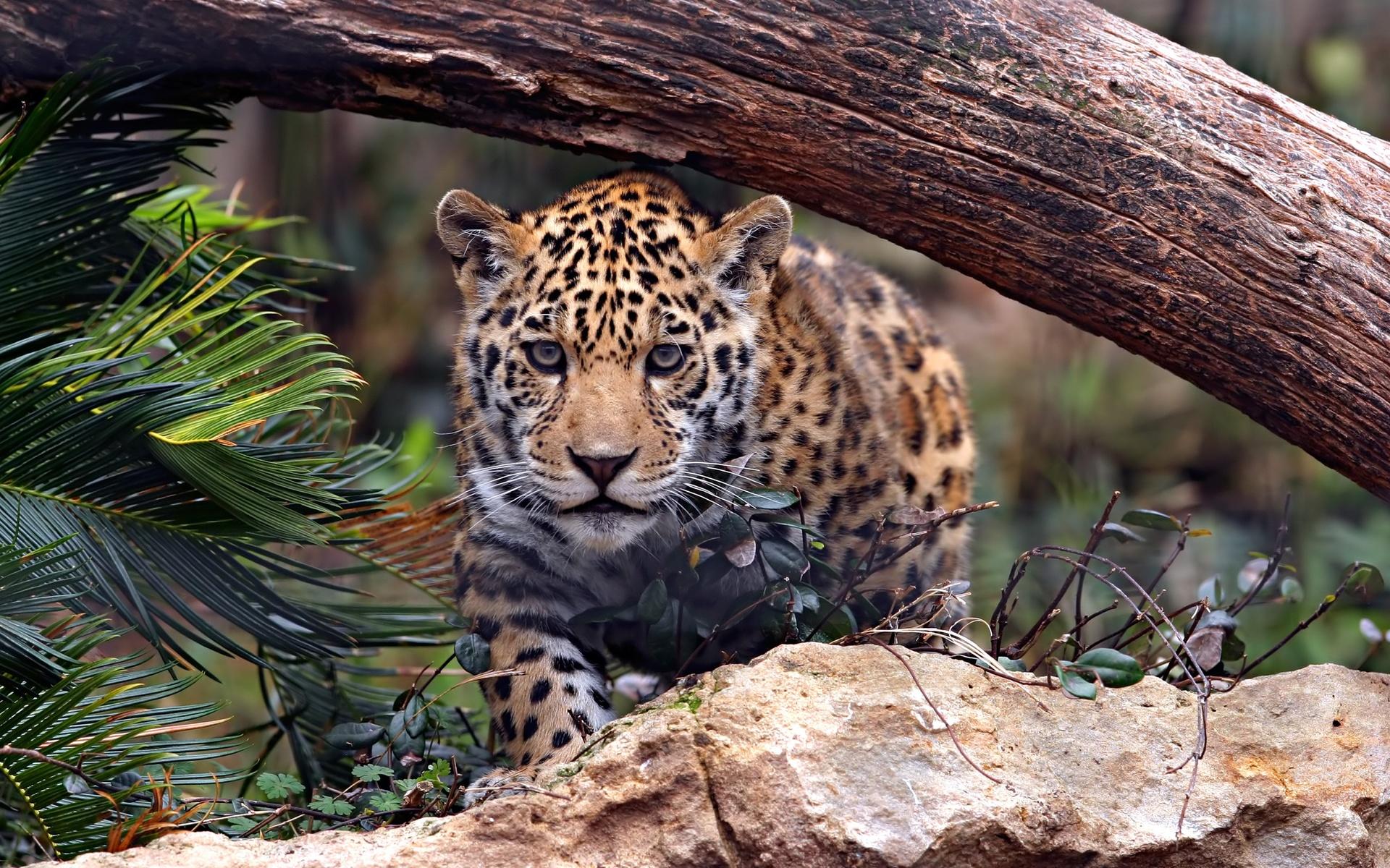 cat, jaguar, predator, big cat
