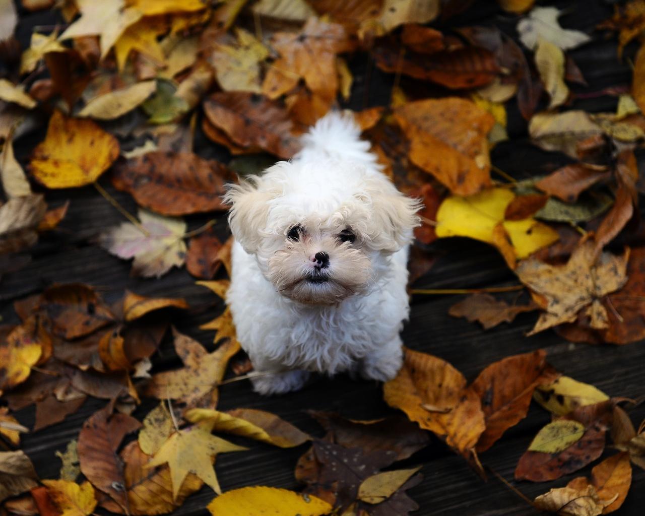 щенок, взгляд вверх, желтые листья, осень