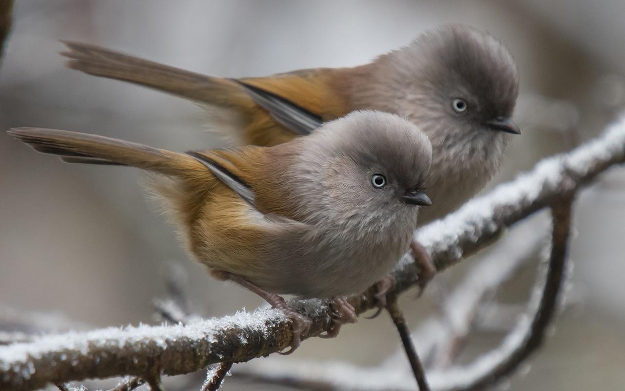 природа, зима, ветки, птички, парочка