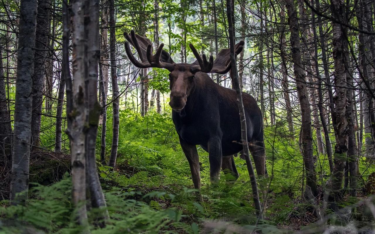 лес, природа, лось