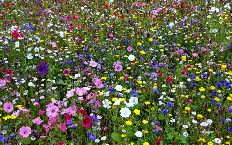 луг, полевые, цветы