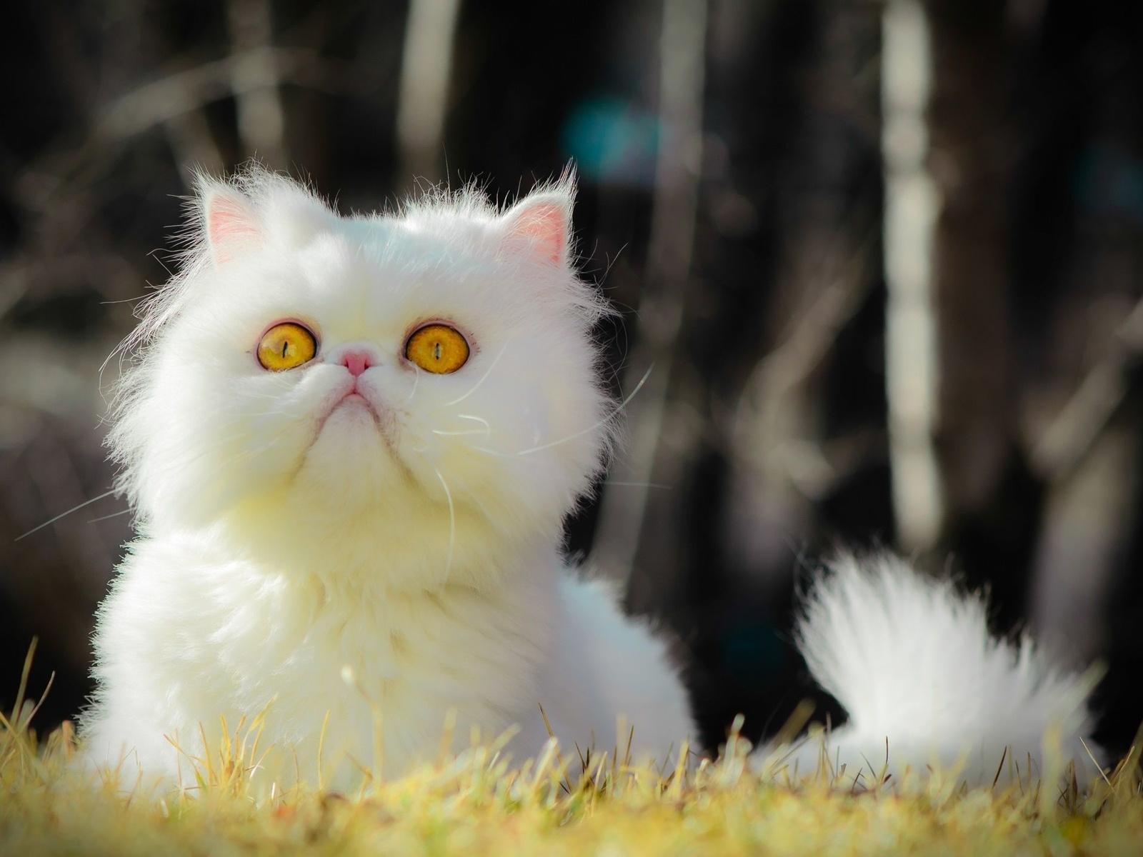 кошки, животные, природа, персидский,белый,пушистый,кот, жёлтоглазый