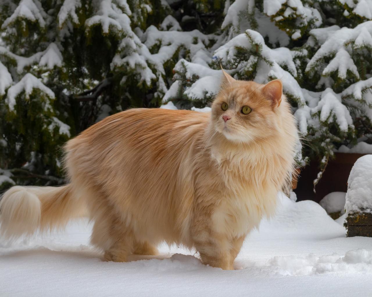 рыжий, кот, зима, снег