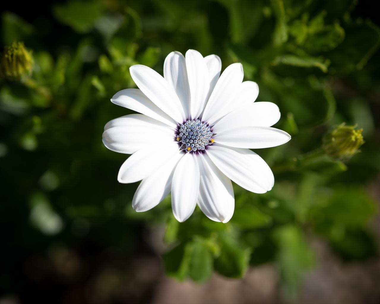 остеоспермум, размытый фон, белый, цветок