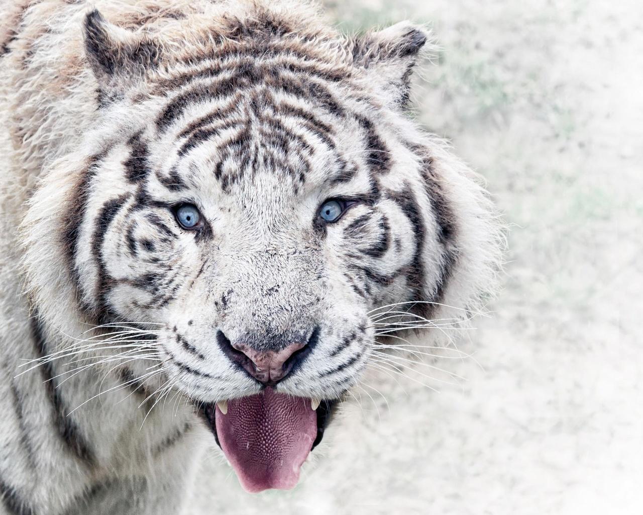 сибирский, белый, тигр