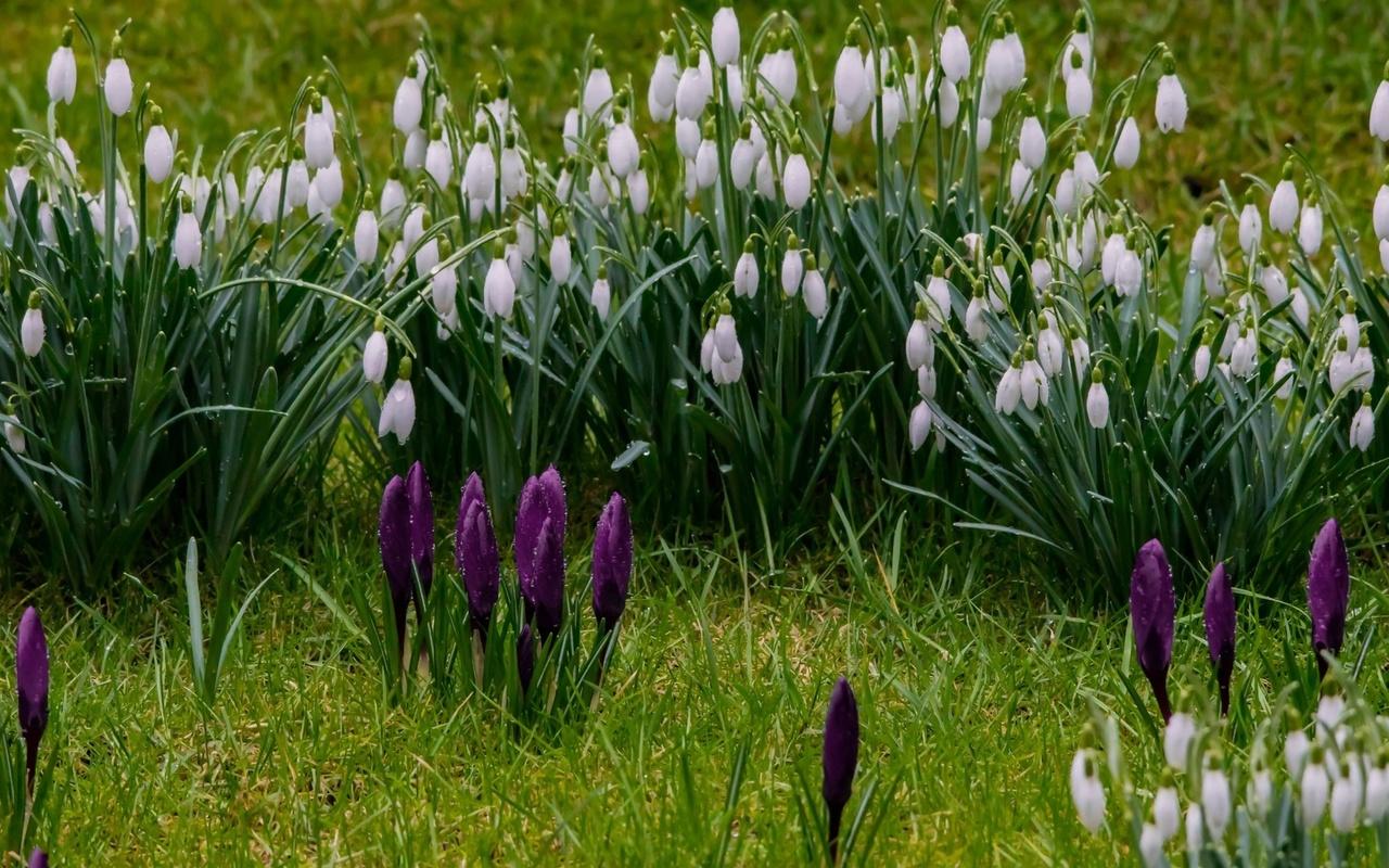 подснежники, крокусы, весна, цветы