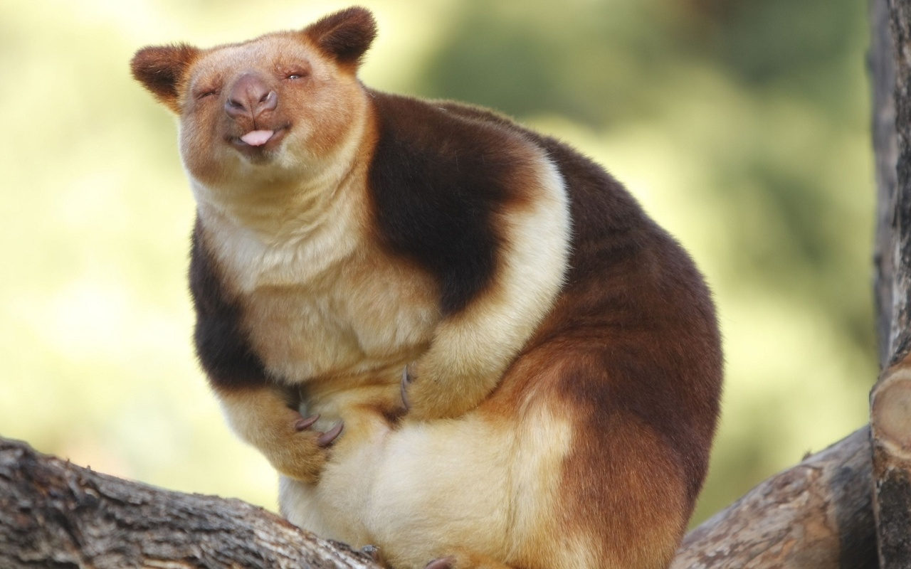 животное, кенгуру, австралия