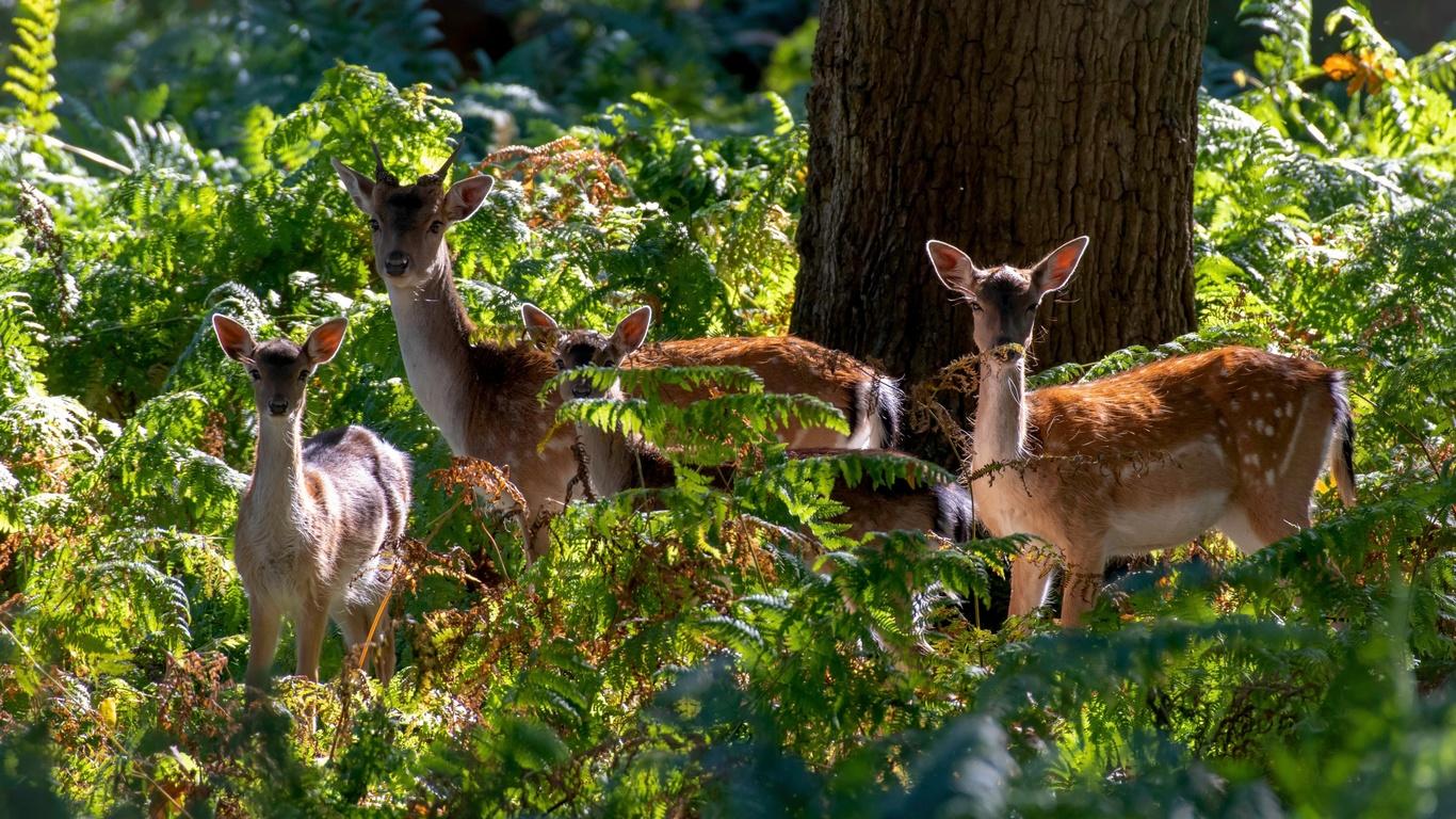 олени, Четыре, 4, животные, кусты