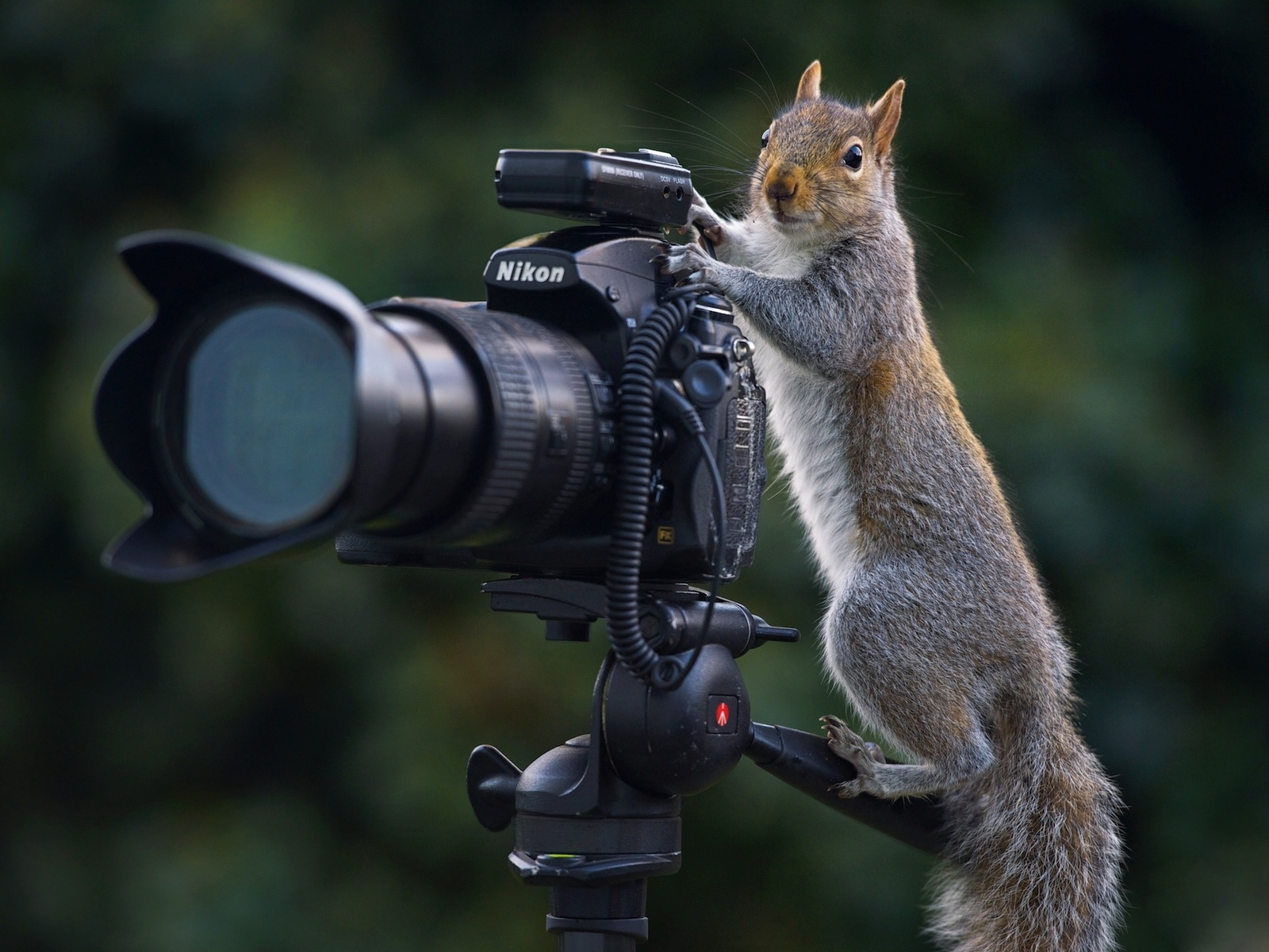 белка, фотограф