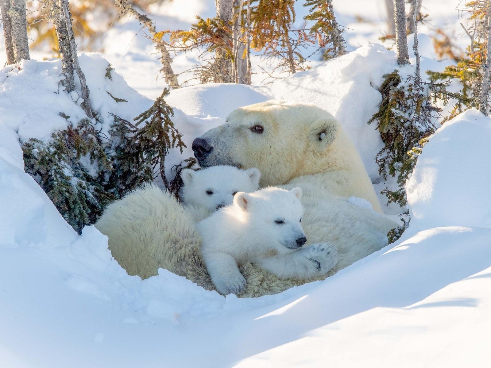 зима, белый, небо, снег, природа, медведь, семья, медведи, три, белая, медвежонок, белые, медвежата, белый медведь, трио