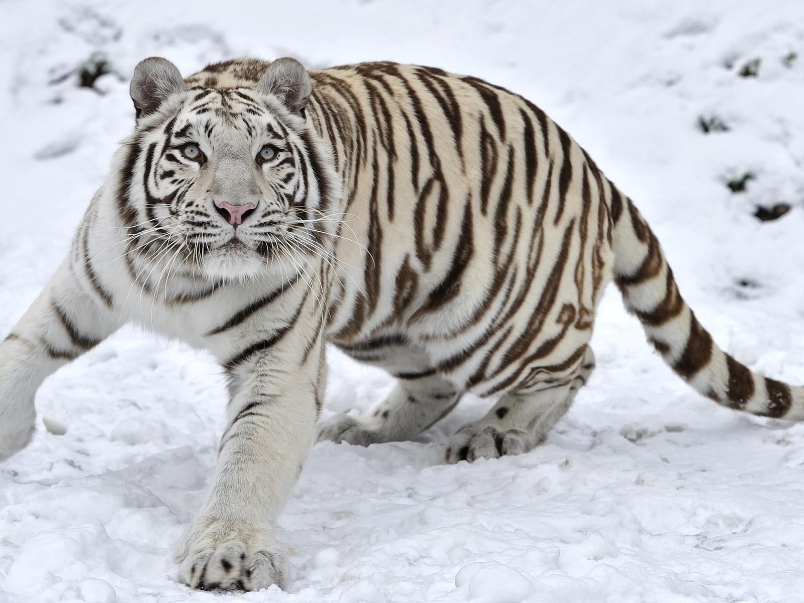 белый тигр, снег, взгляд