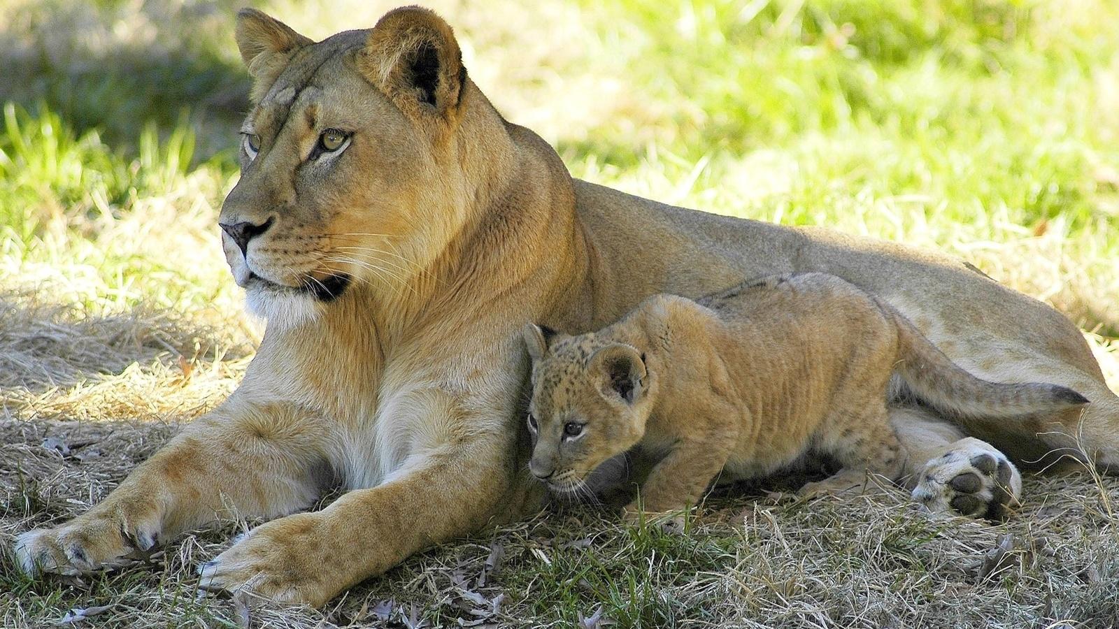 львы, львенок, кошки, хищники