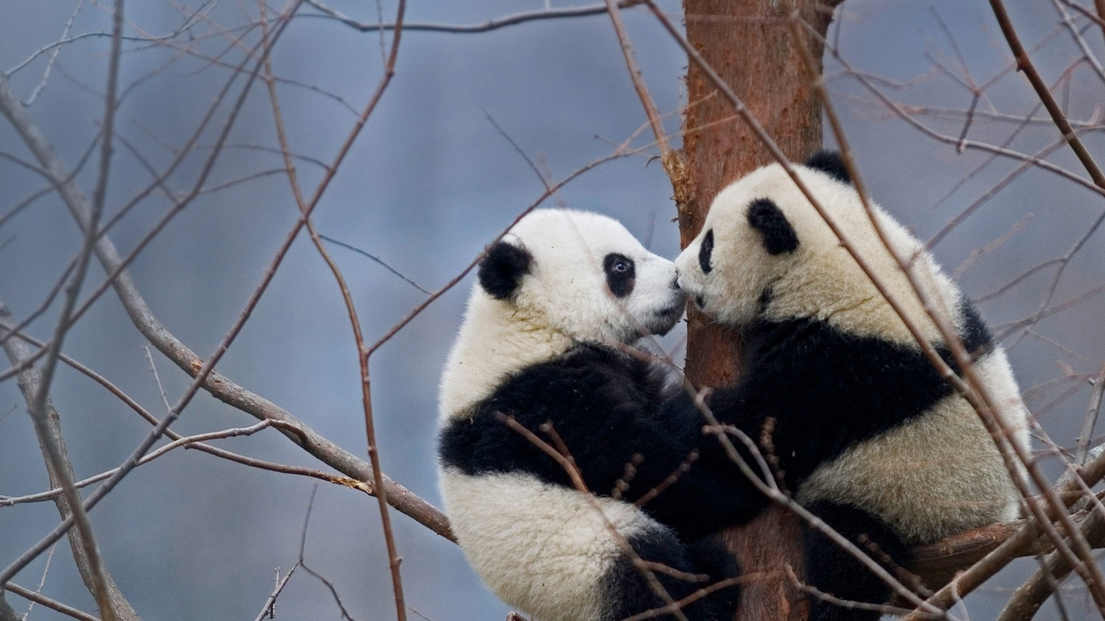 животное, панда, большая